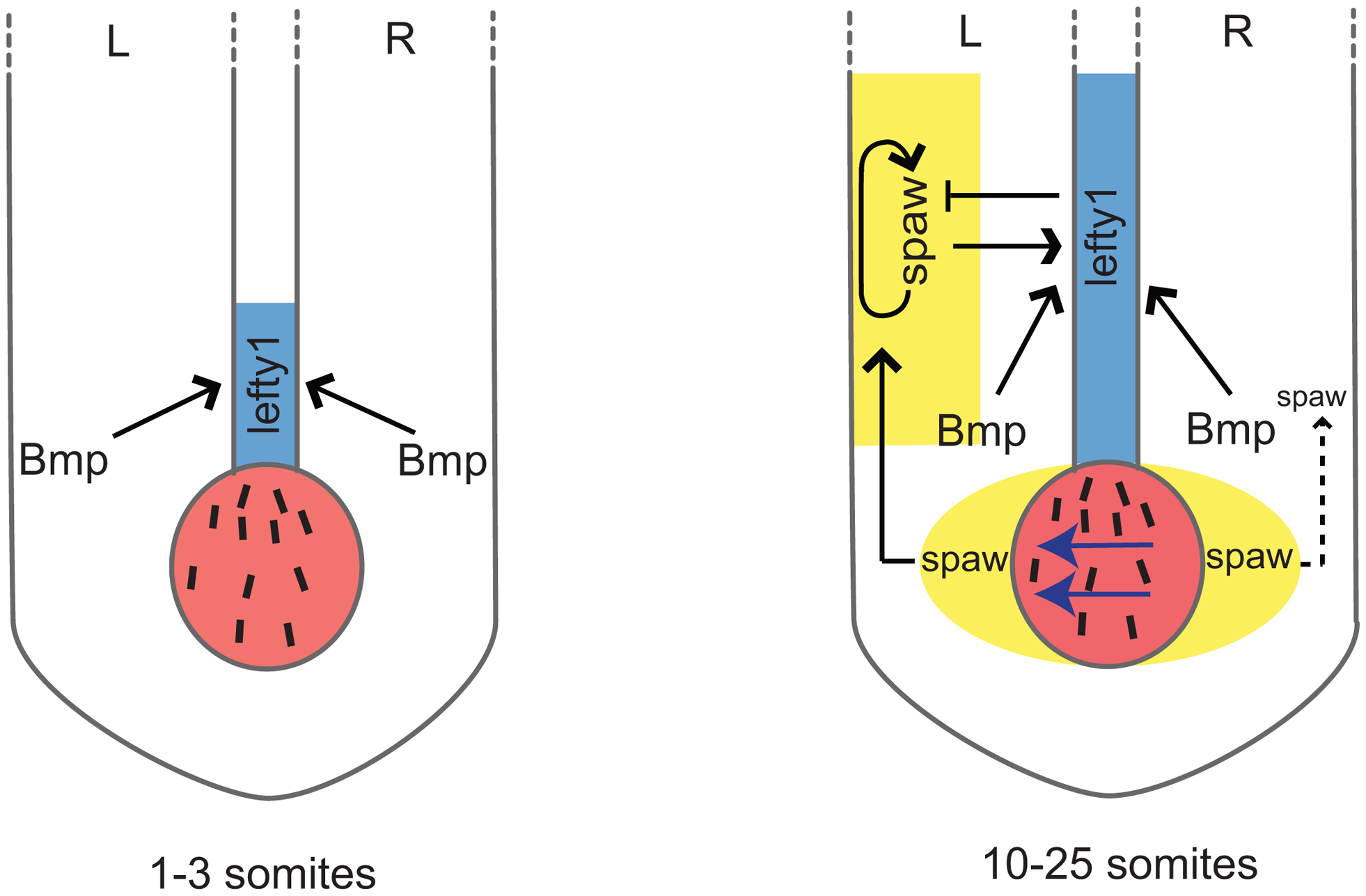 Schematic representation of <i>lefty1</i> regulation during LR axis specification.
