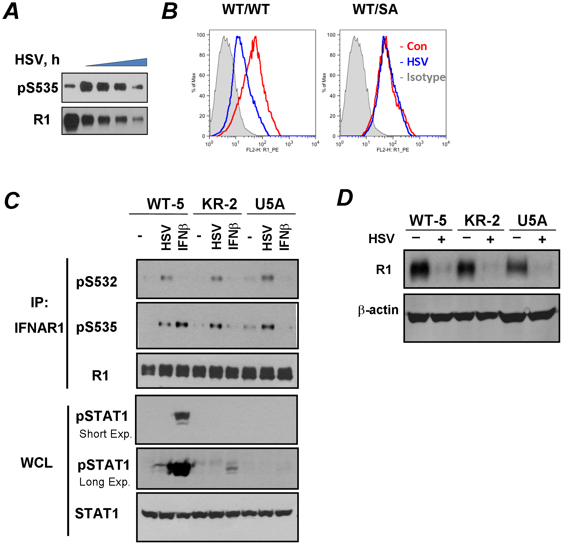 HSV induces ligand/TYK2-independent phosphorylation and downregulation of IFNAR1.