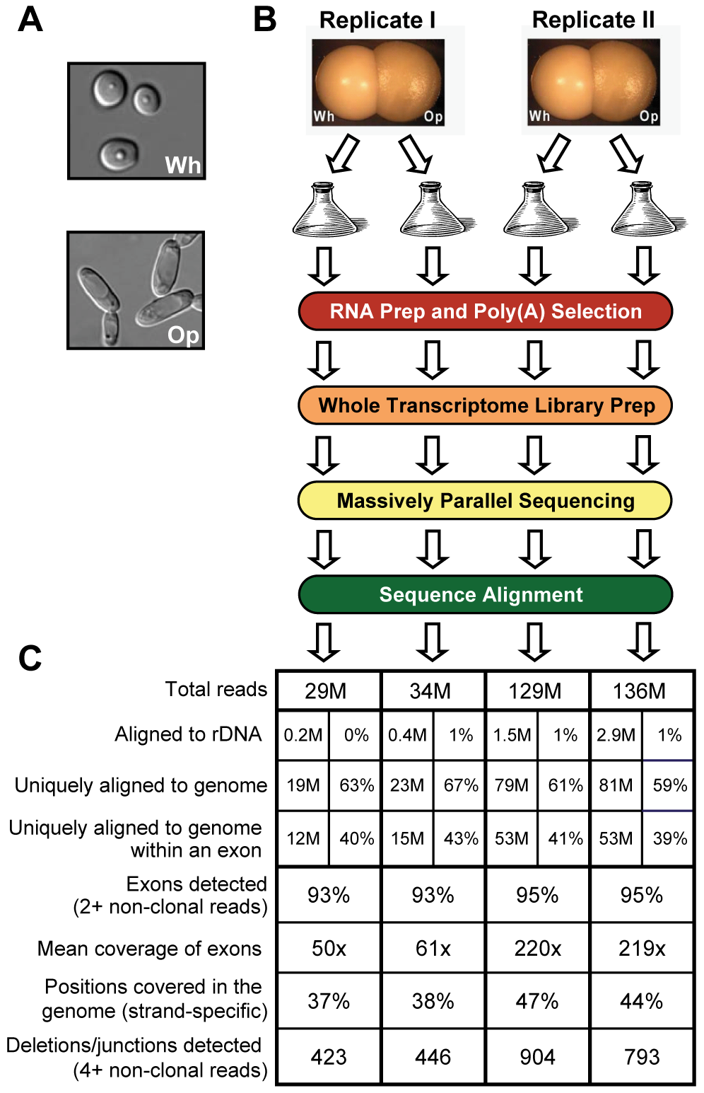 RNA sequencing of white and opaque cells.