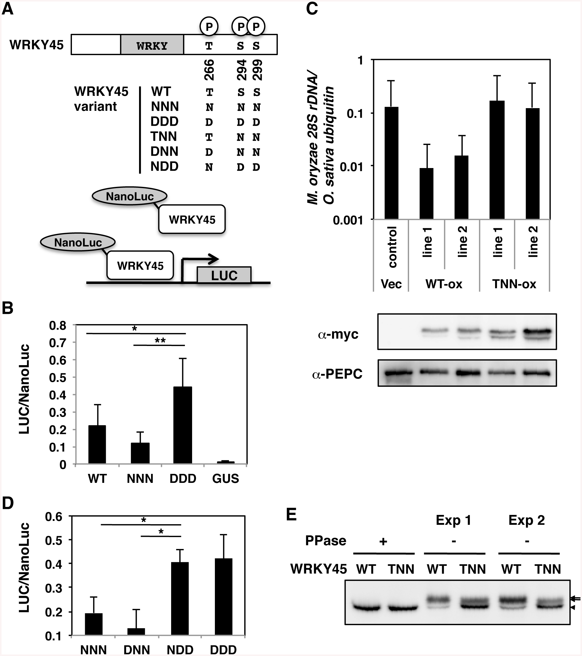 Phosphorylation at carboxyl-terminal serines activates WRKY45 in rice.