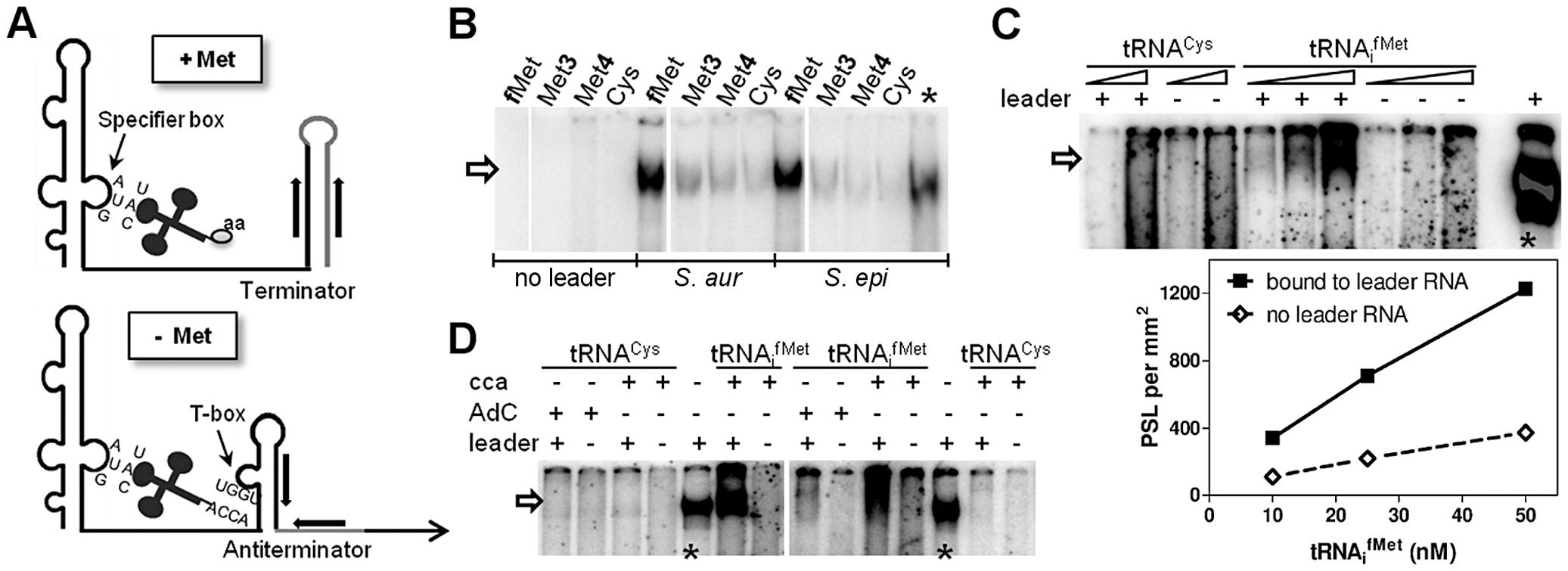 <i>In vitro</i> binding of <i>met</i> leader RNA to tRNAs.
