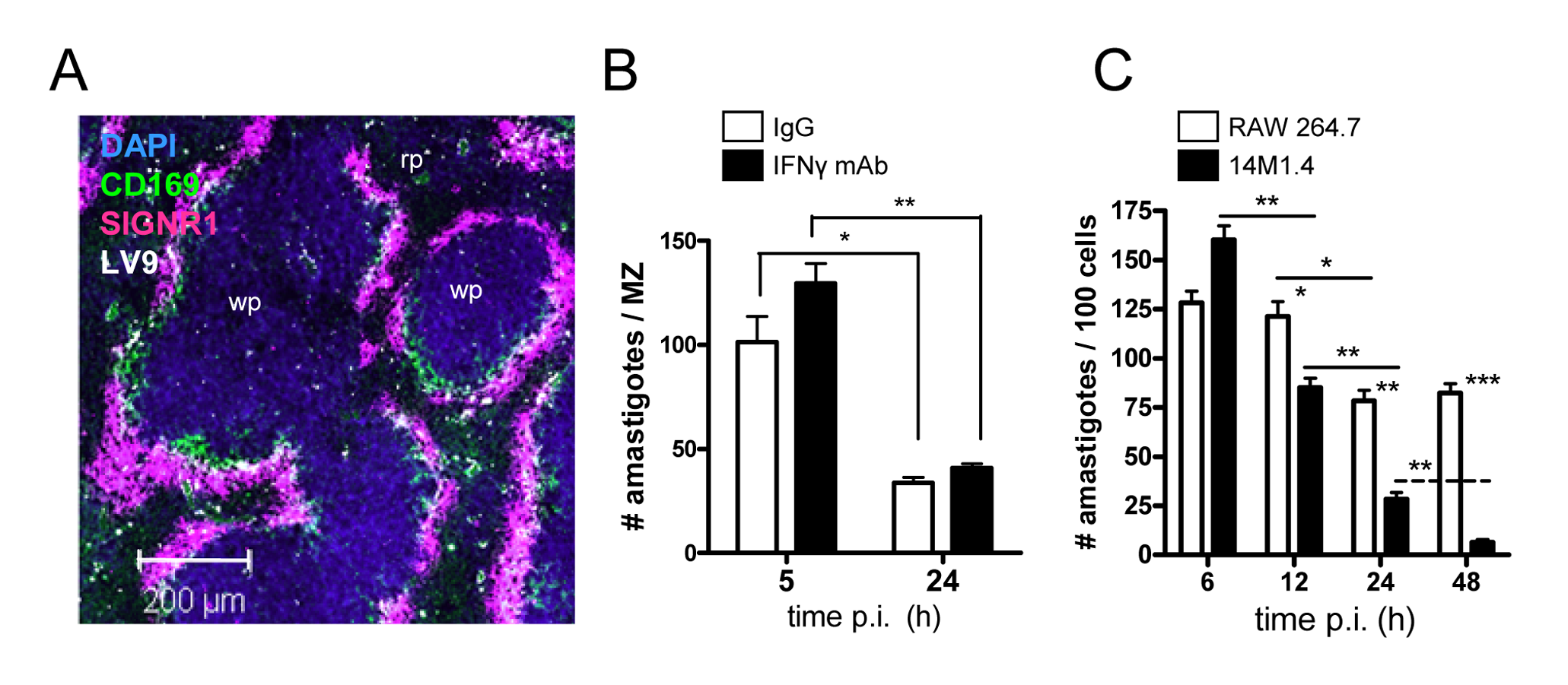 Splenic marginal zone macrophages and marginal metallophilic macrophages control <i>L. donovani</i> by an IFN-γ independent mechanism.