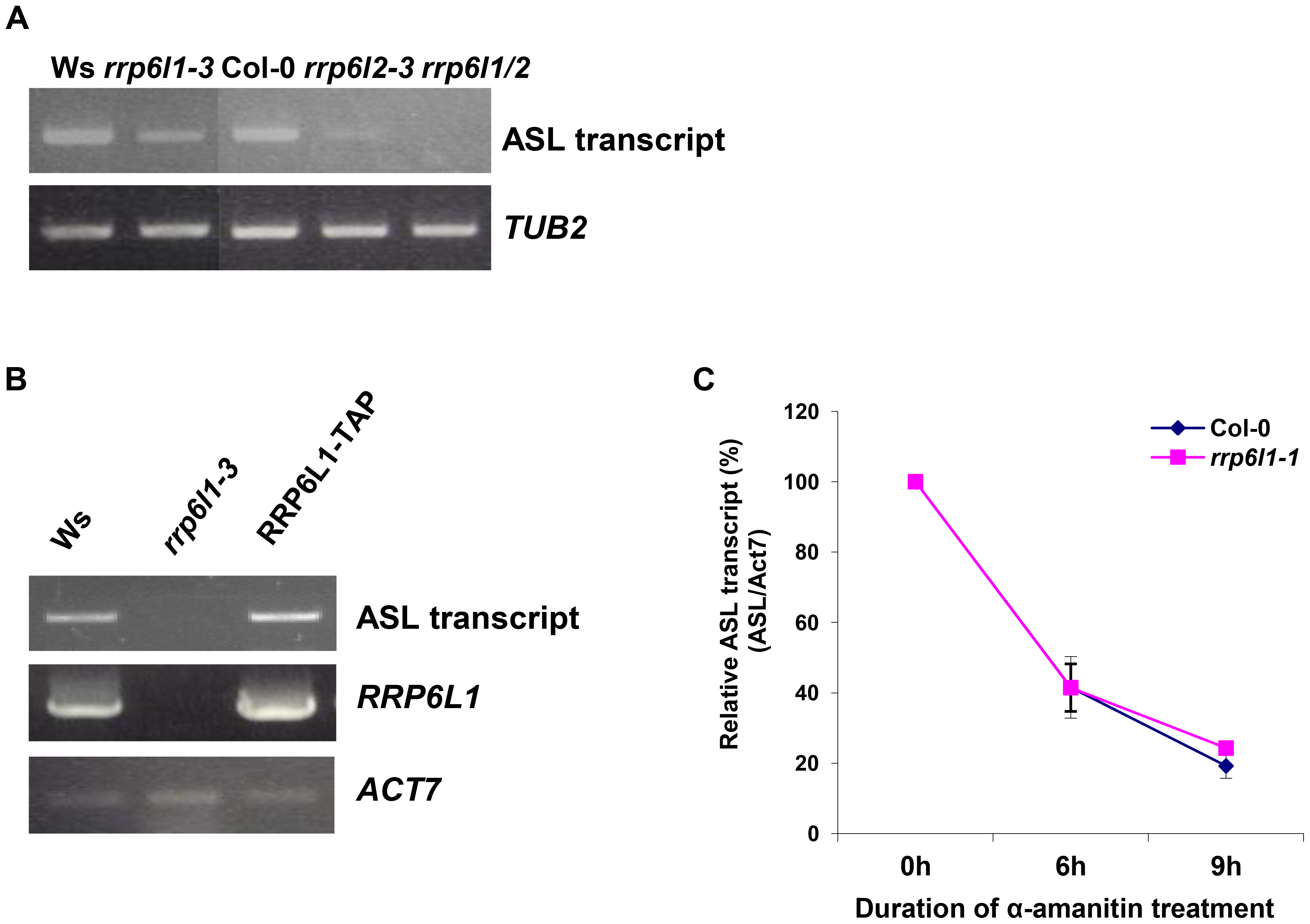The level of ASL transcripts is decreased in <i>rrp6l</i> mutants.