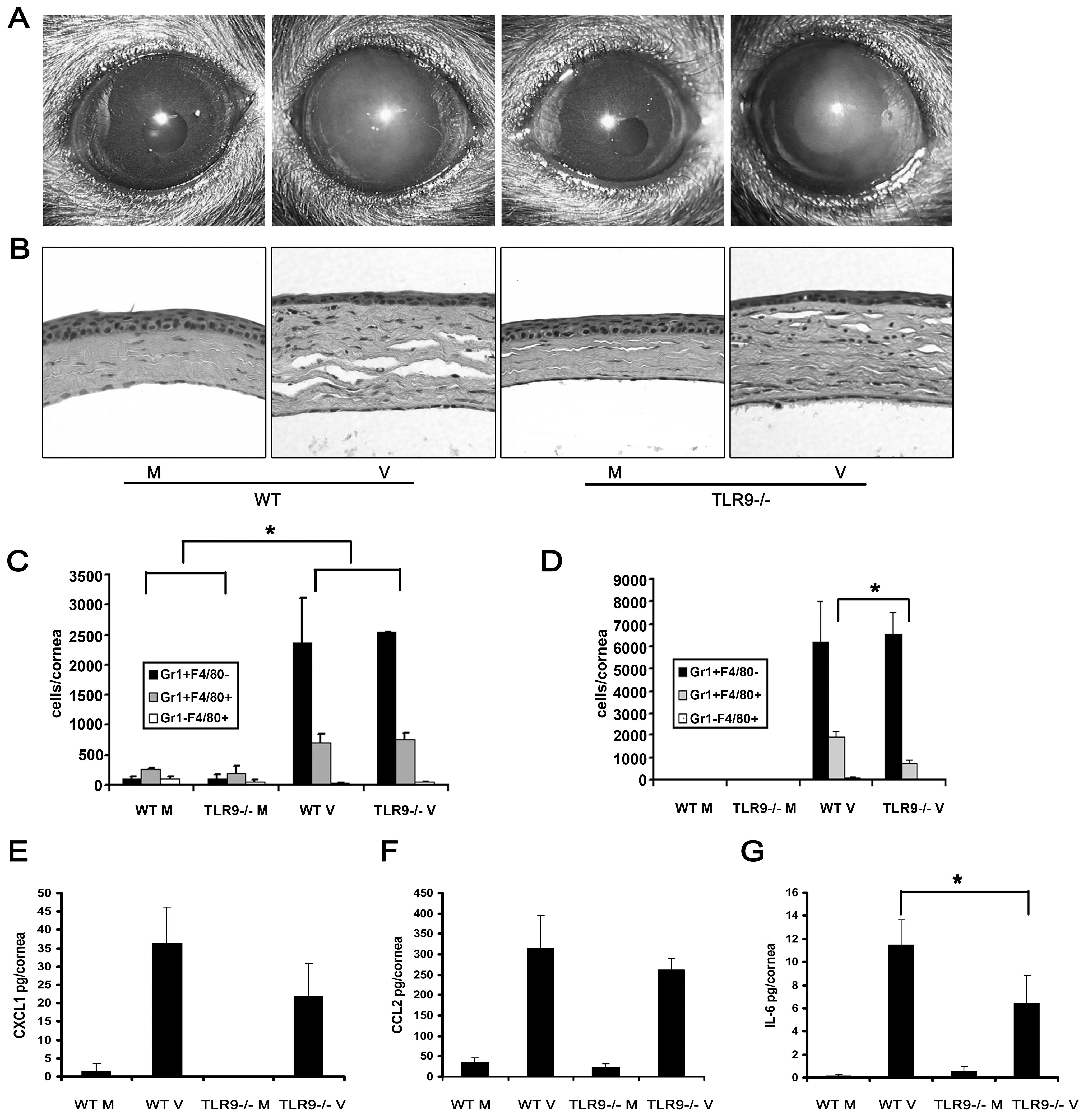 Tlr9 is not essential for the development of adenovirus keratitis.