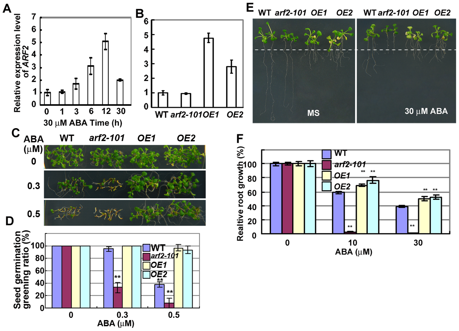 Overexpression of <i>ARF2</i> increases resistant to ABA.