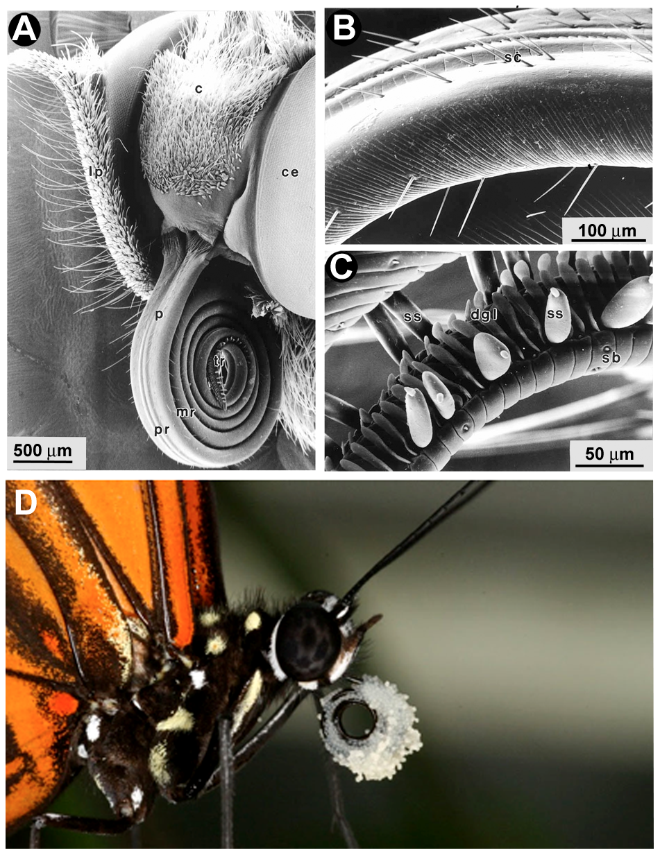Scanning electron micrographs of the proboscis of <i>Heliconius</i> butterflies.