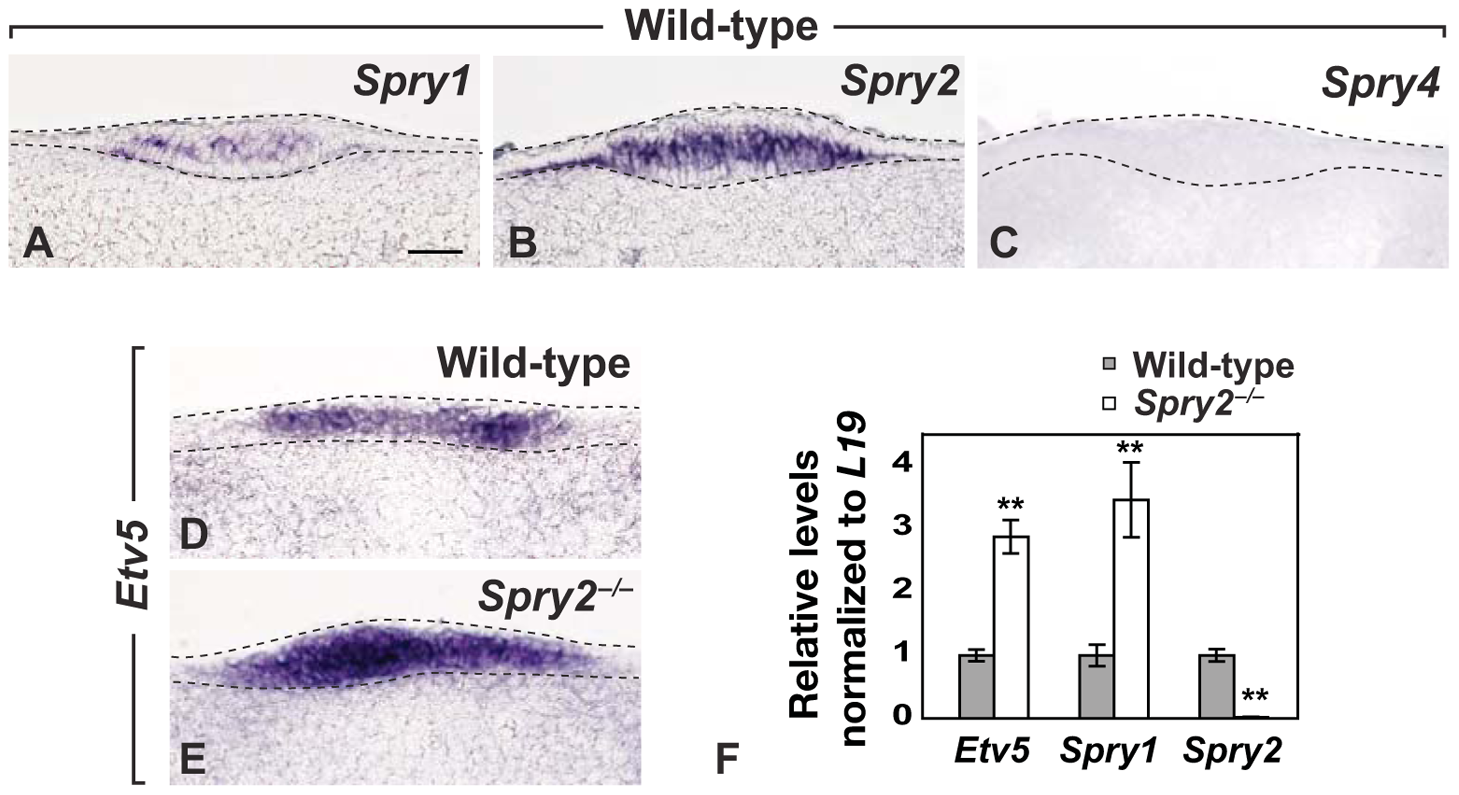 <i>Spry1</i> and <i>Spry2</i> are co-expressed in the CV placode and increased FGF signaling is detected in <i>Spry2</i> mutants.