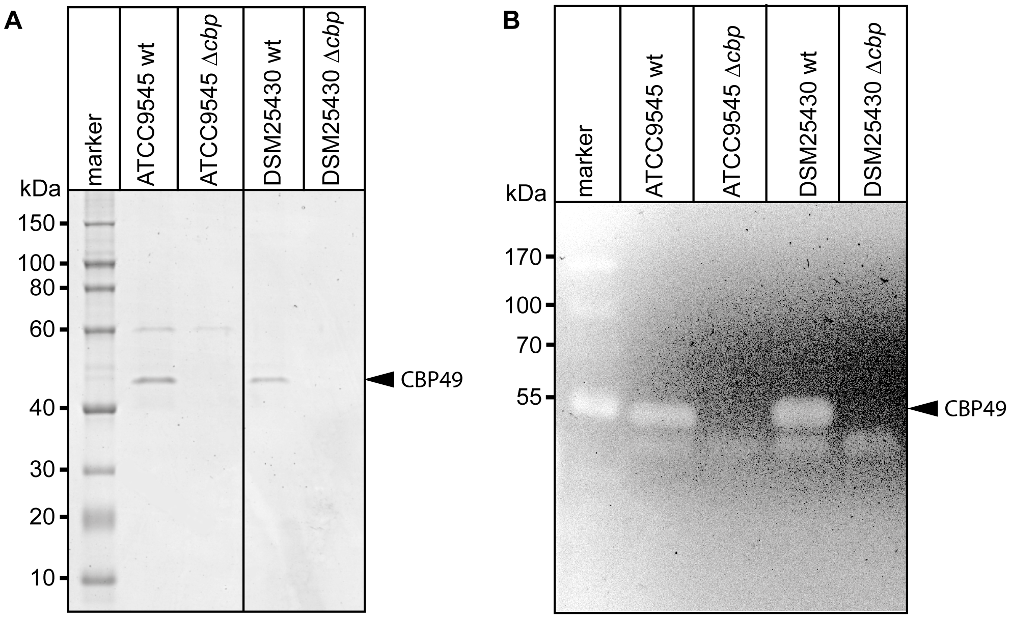 Interruption of the <i>cbp</i>-gene in ATCC9545 and DSM25430 leads to lack of both <i>Pl</i>CBP49 expression and chitinolytic activity.