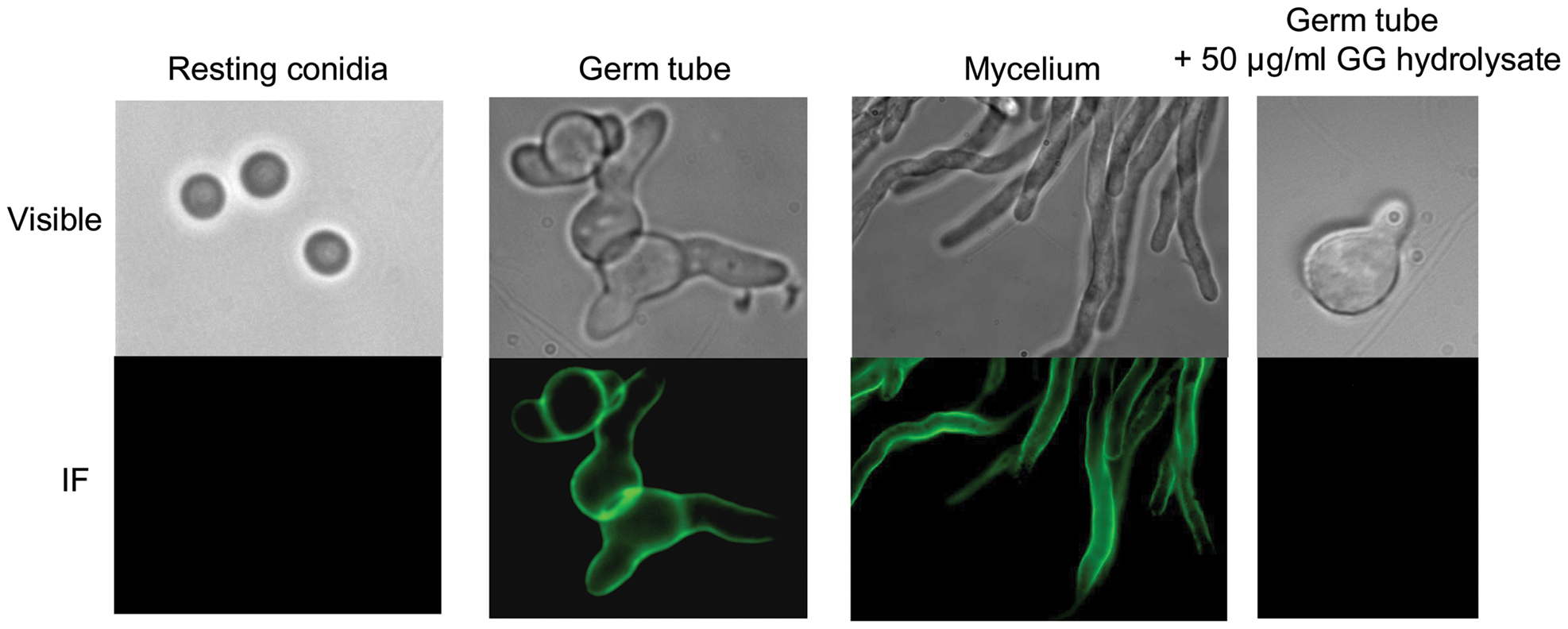 Detection of the galactosaminogalactan by immunofluorescence on resting, germinated conidia and on mycelium.