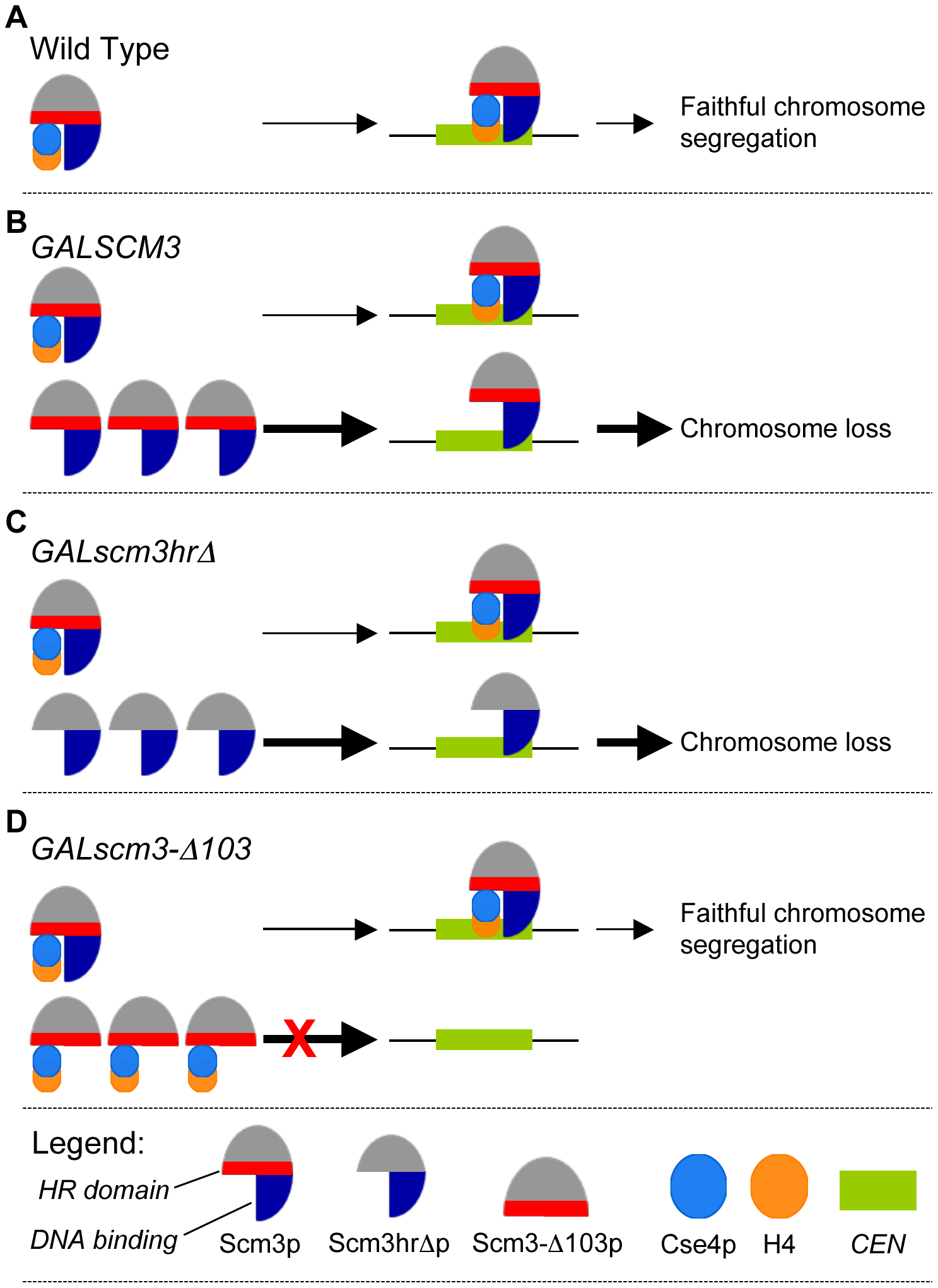 Schematic model for <i>GALSCM3</i>-induced chromosome instability in budding yeast.