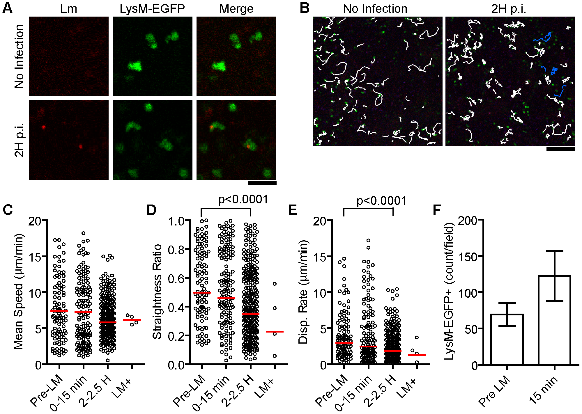 A small fraction of patrolling neutrophils take up <i>Lm</i>.
