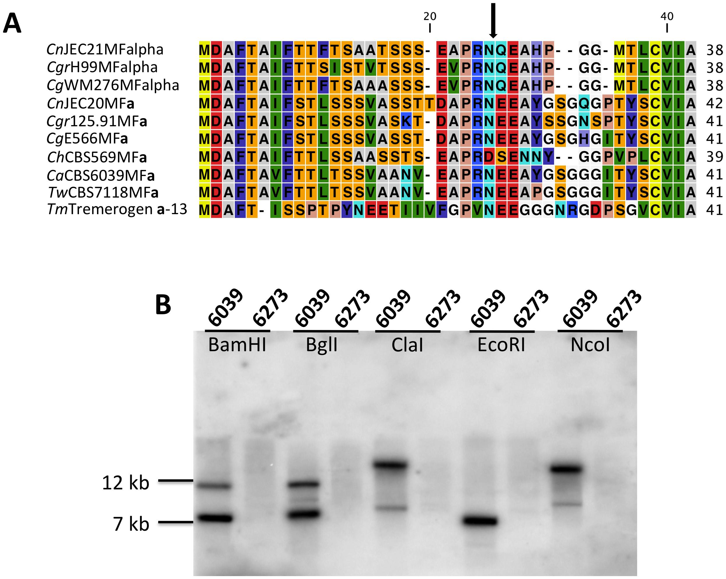 Analysis of the pheromone/receptor genes in <i>C. amylolentus</i>.