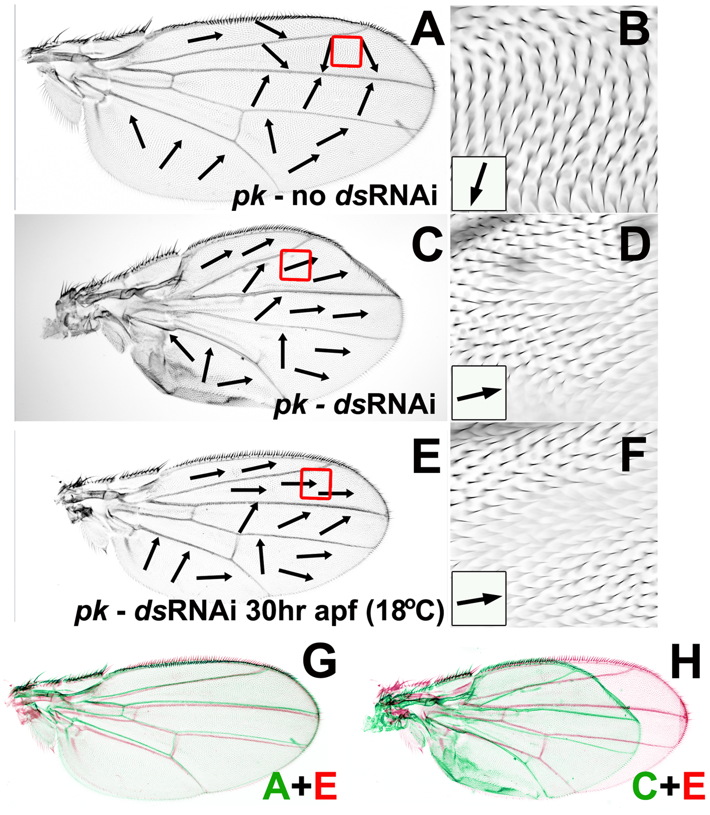 Reduced <i>ds</i> expression can modify <i>pk<sup>pk</sup></i> hair polarity without affecting wing morphogenesis.