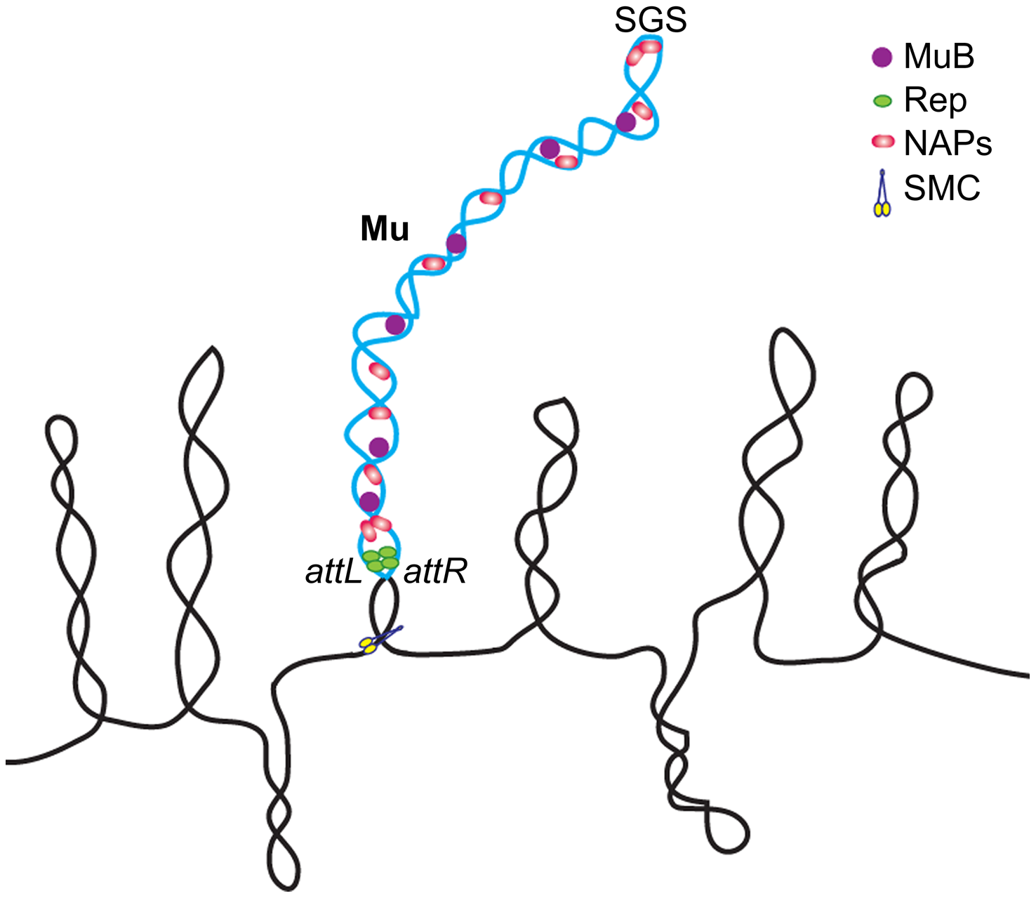 Model of the Mu prophage domain.