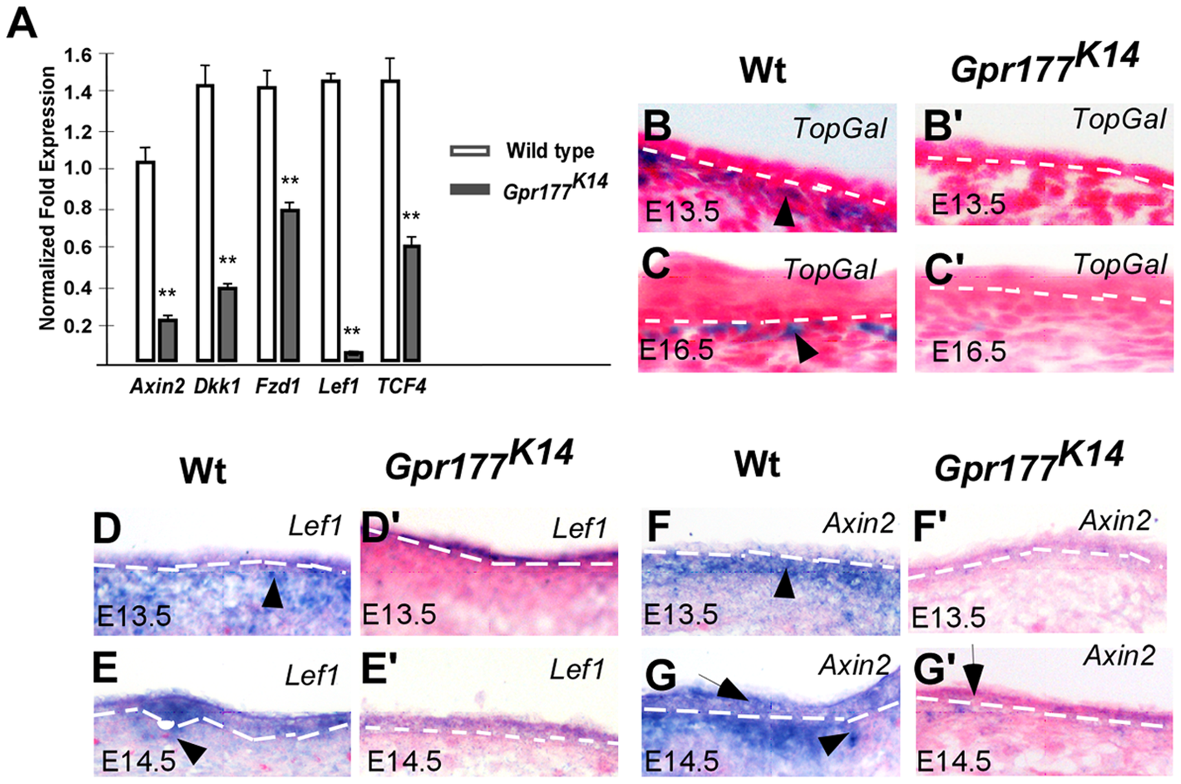 Deletion of Gpr177 in embryonic epidermis leads to ablation of Wnt/β-catenin signaling in dermis.
