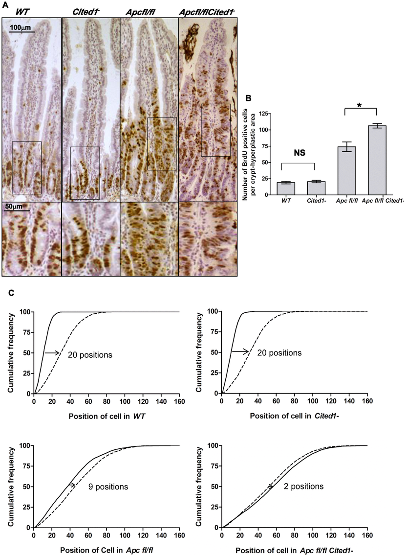 <i>Cited1</i> deficiency increases enterocyte proliferation and decreased cell migration in <i>AhCre<sup>+</sup>Apc<sup>fl/fl</sup></i> mice.