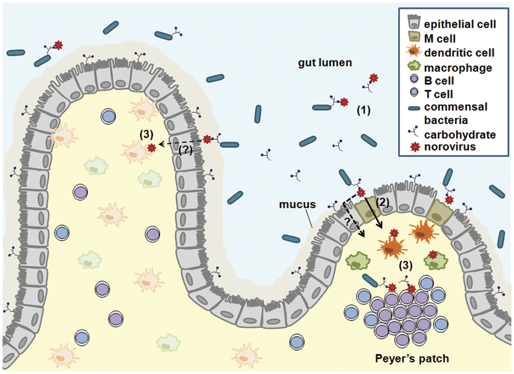 A working model for NoV intestinal infection.