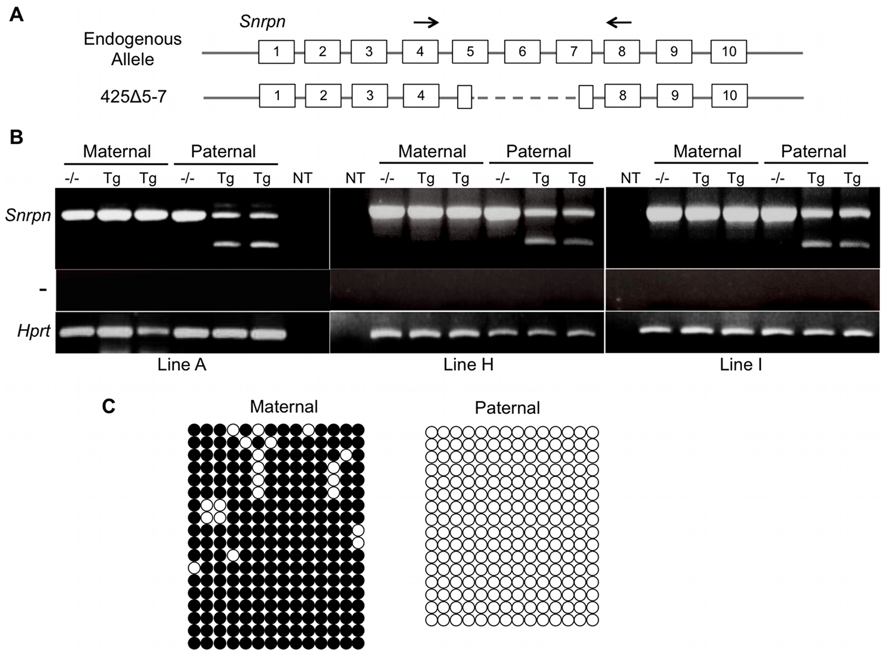 Analysis of imprinting for the 425Δ5-7 BAC transgene.