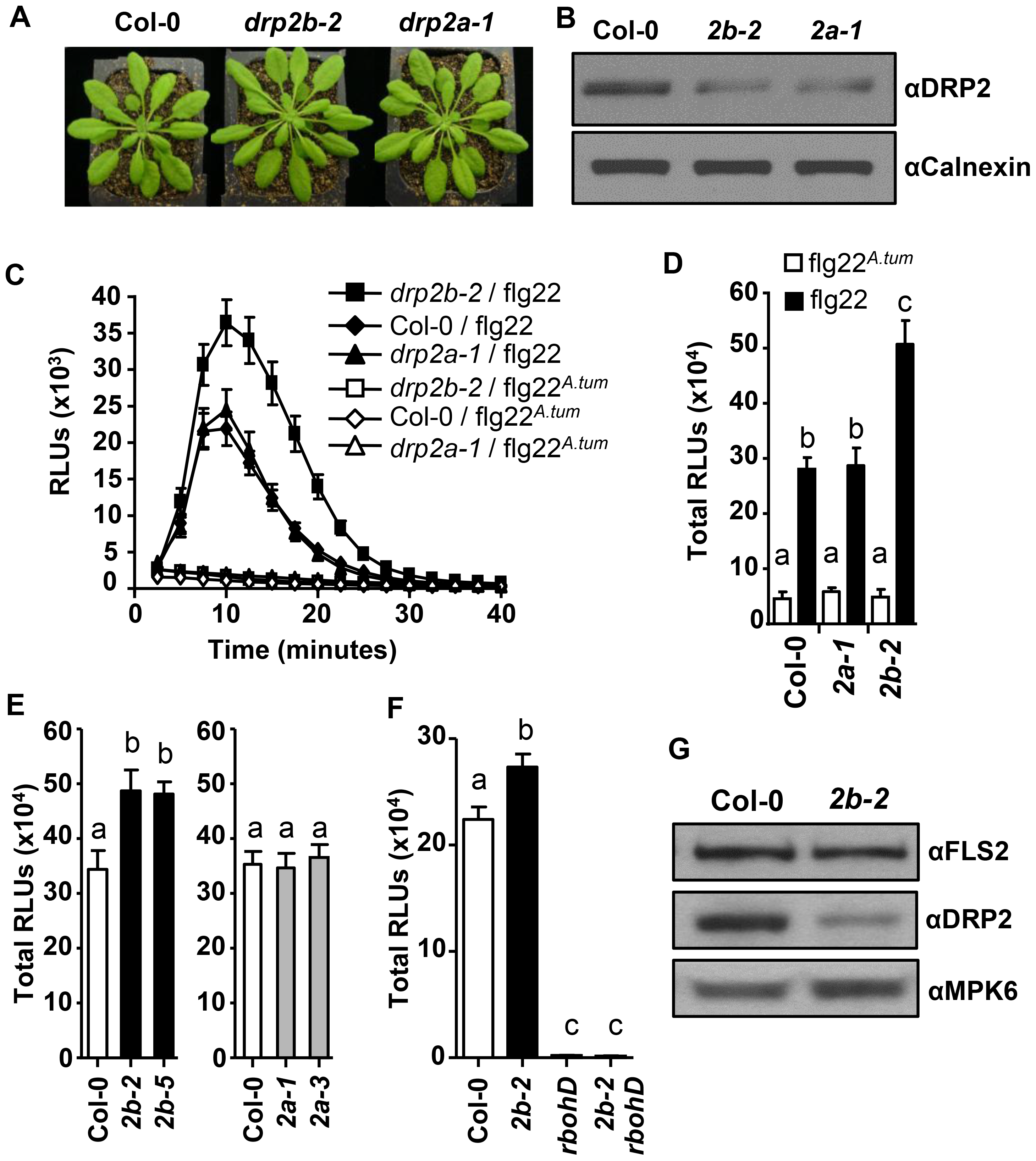 <i>DRP2B</i> is a negative regulator of RbohD-dependent ROS Production in response to flg22.
