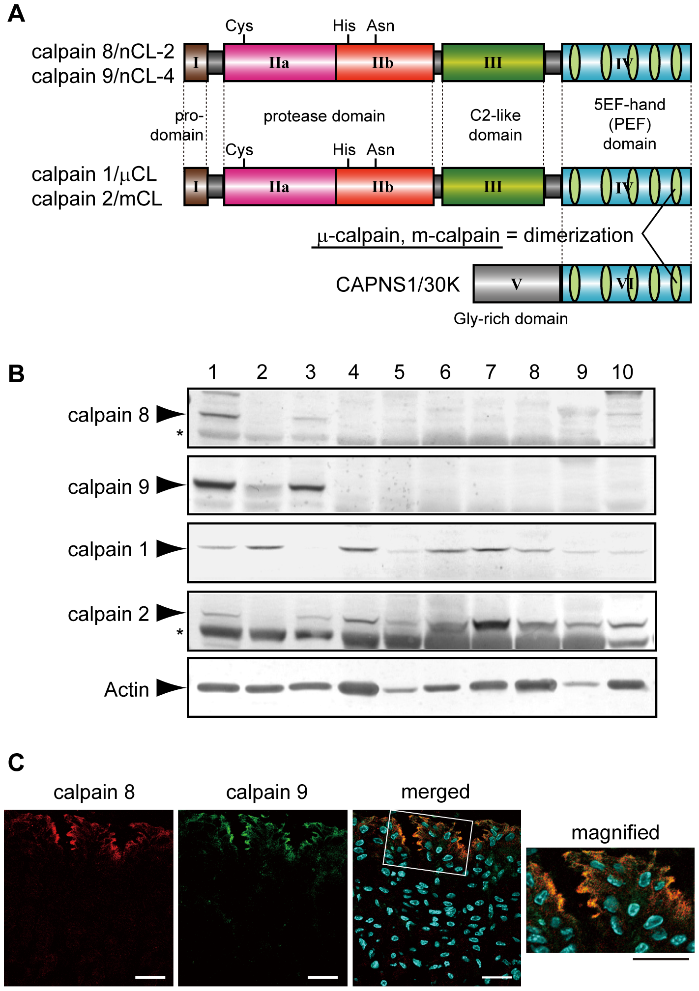 Calpains 8 and 9 showed the same tissue distribution and localization in the stomach.