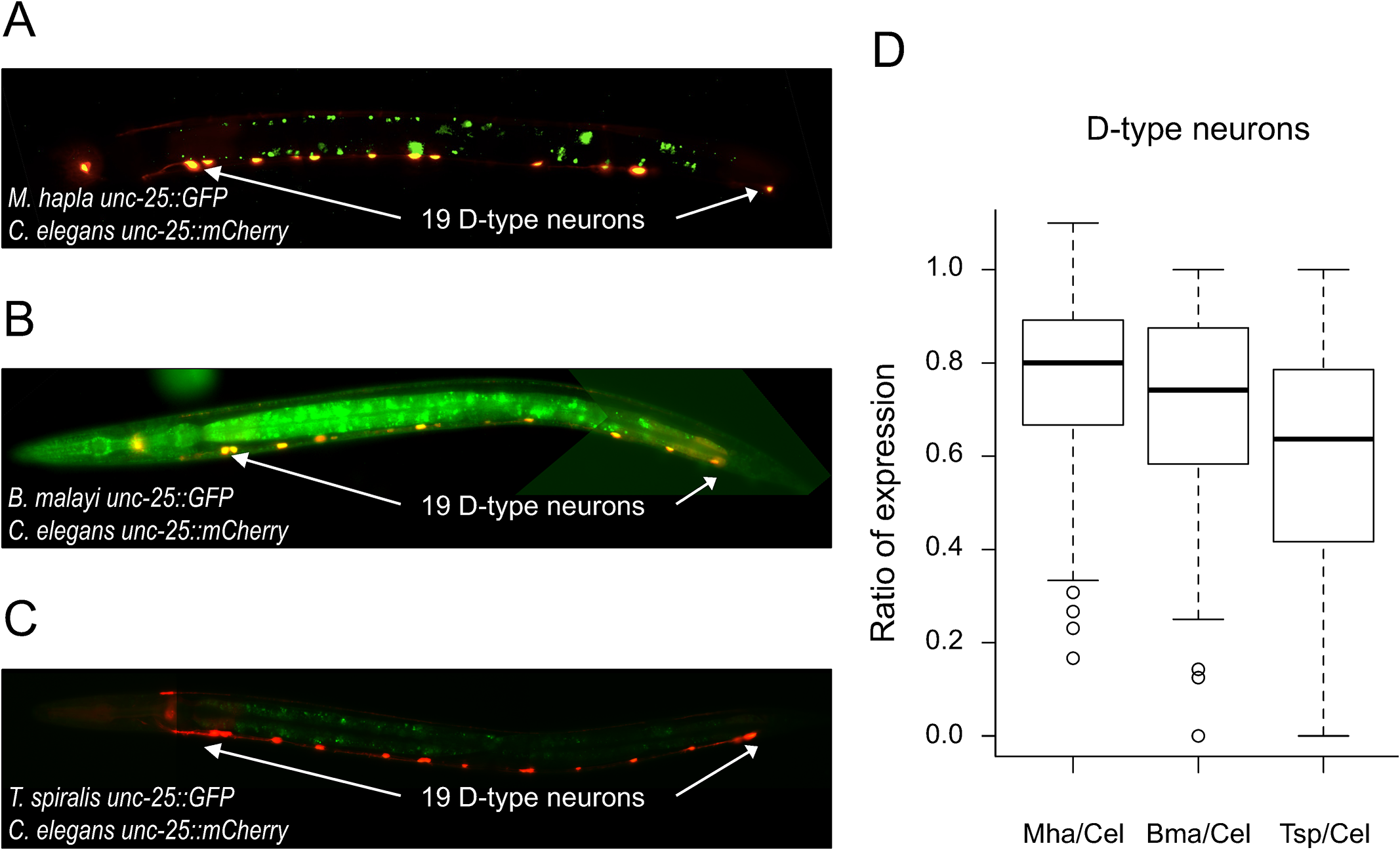 <i>unc-25</i> regulatory sequences from distantly-related nematodes drive expression in <i>C</i>. <i>elegans</i>.