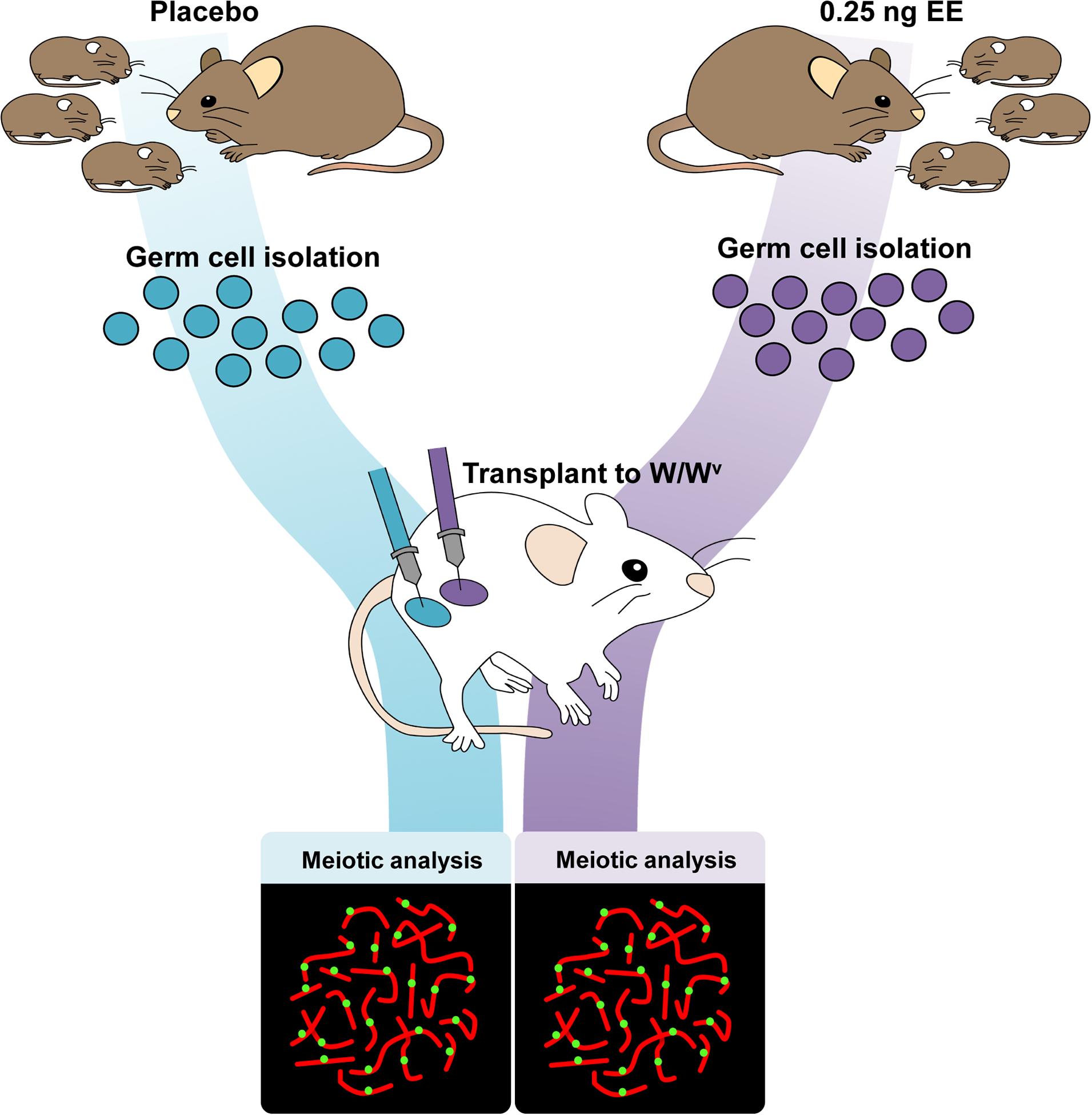 Germ cell transplantation experimental design.