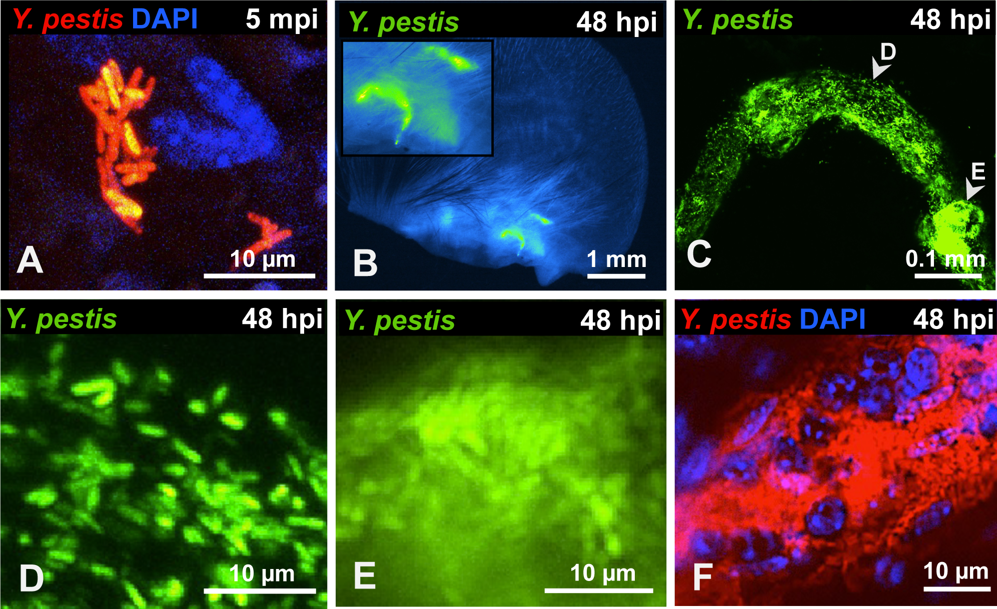 <i>Y. pestis</i> in the skin and in afferent lymphatic vessels.