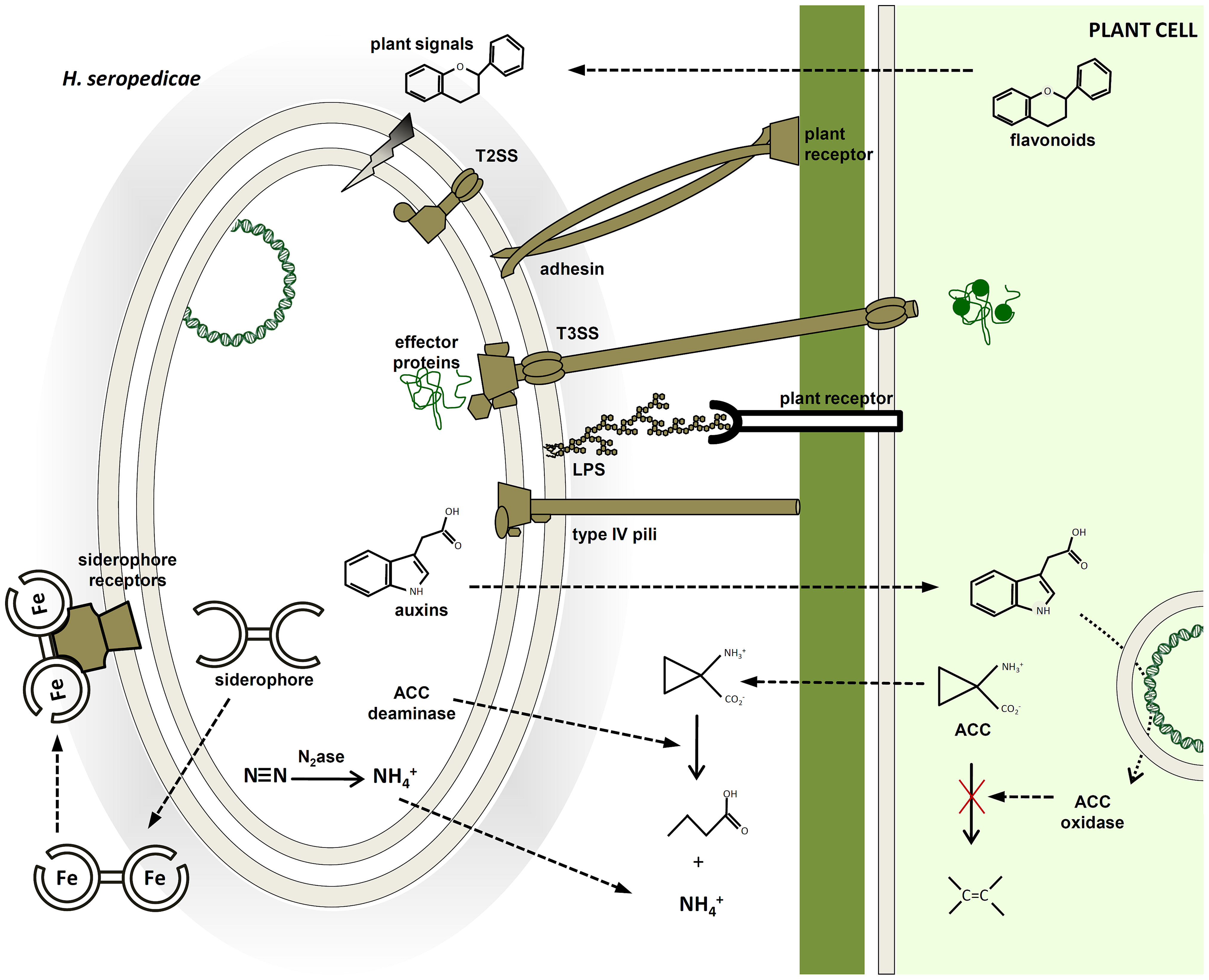 Molecular mechanisms probably involved in plant colonization and plant growth promotion identified in the <i>H. seropedicae</i> SmR1 genome.