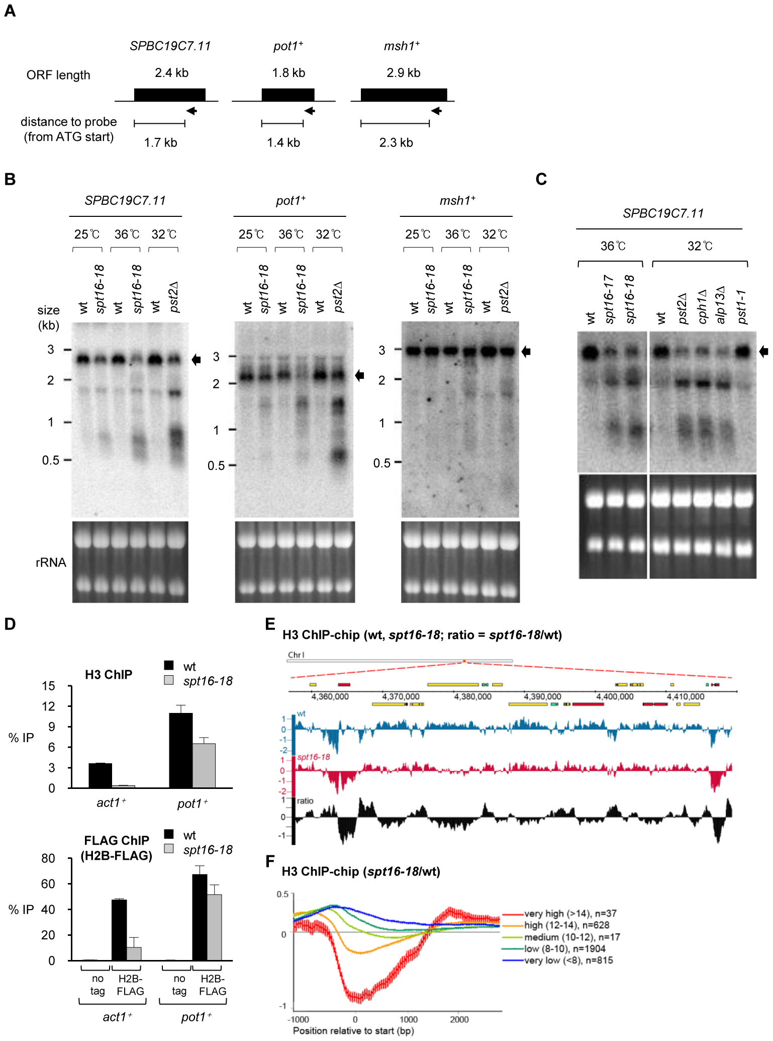 Spt16 is required to suppress cryptic transcription initiation and nucleosome loss at RNAPII genes.