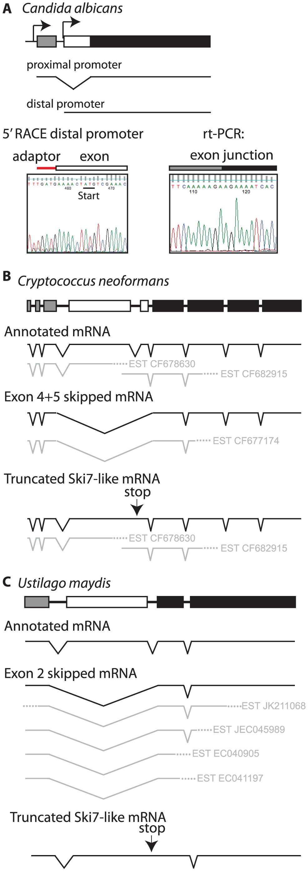 Some fungi use alternate methods to generate distinct <i>SKI7</i> and <i>HBS1</i> mRNAs from a single gene.