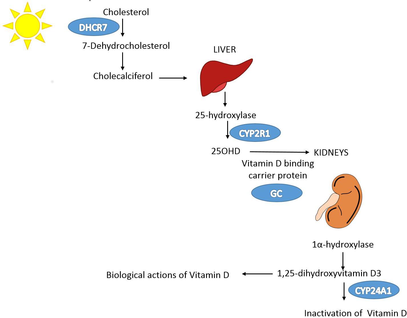Vitamin D pathway.