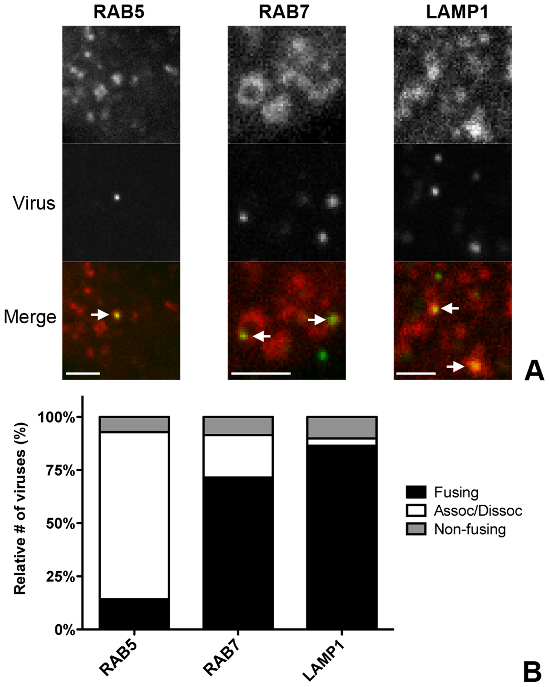 Live-cell microscopy demonstrates co-localization and co-tracking of MHV with endosomal vesicles and fusion of MHV in these vesicles.