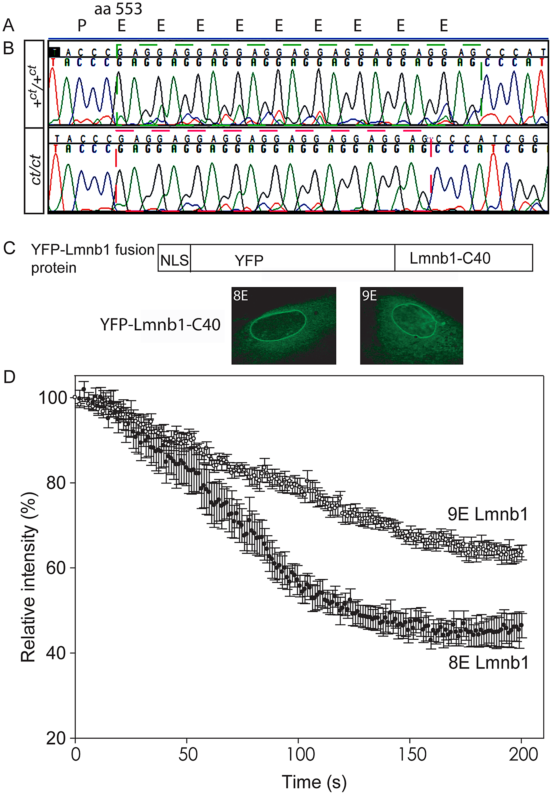 Lamin B1 shows variation in length of glutamic acid repeat, which significantly affects mobility within the nuclear envelope.