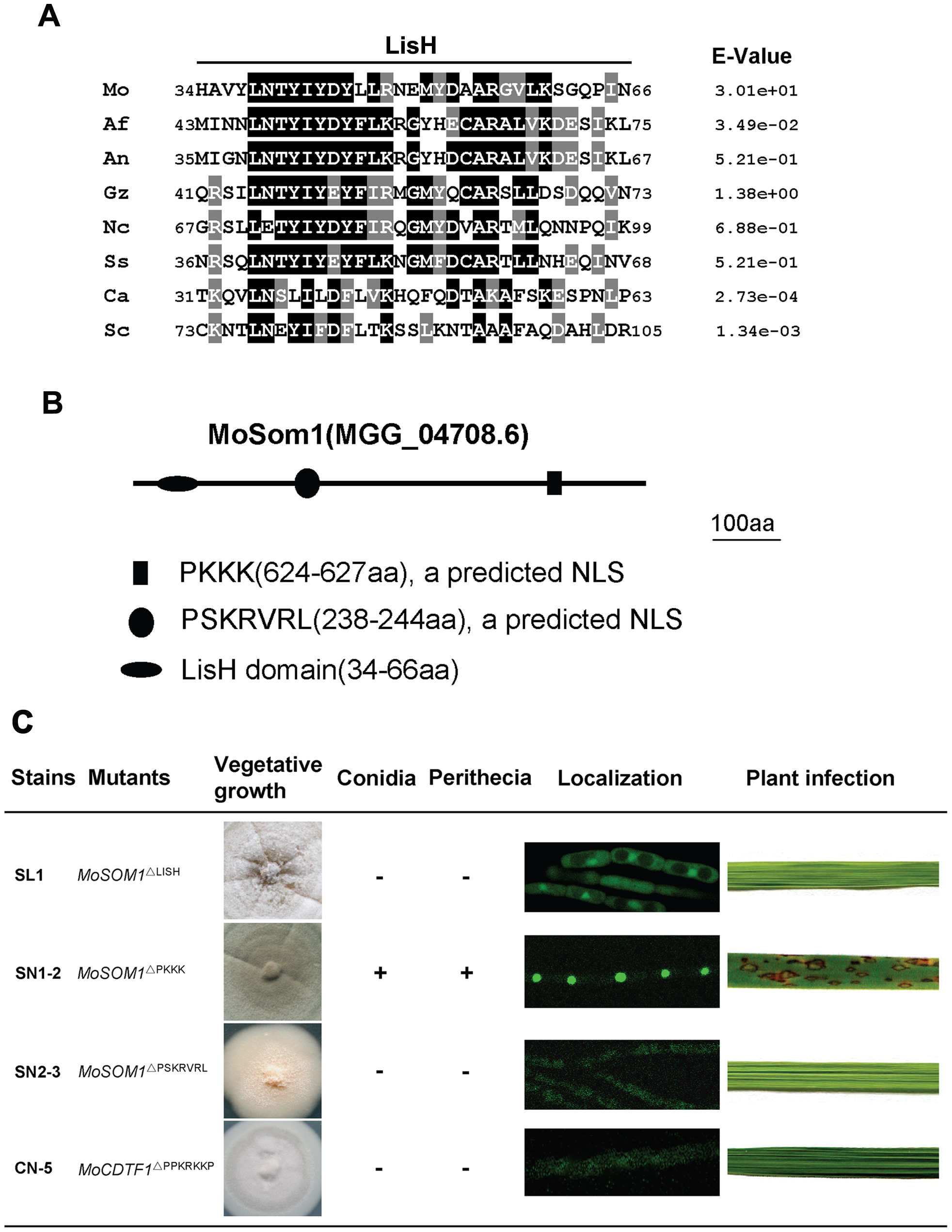 Functional analysis of putative LisH domain and nuclear localization sequences of MoSom1.