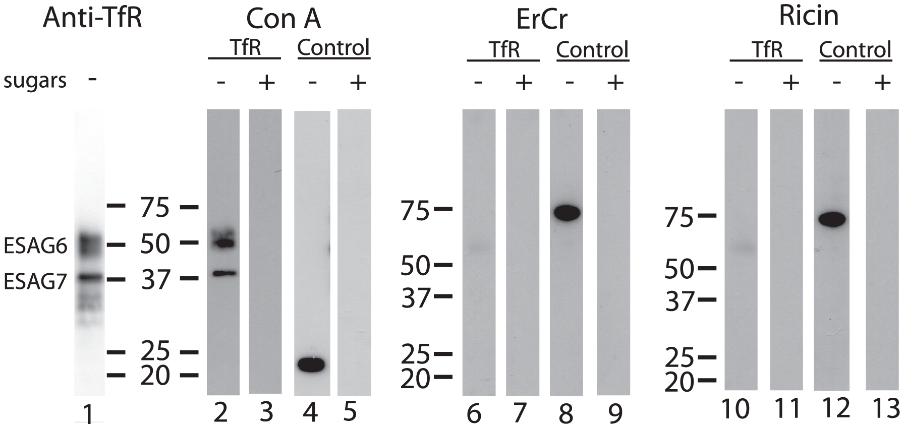 Lectin blots of purified TfR.