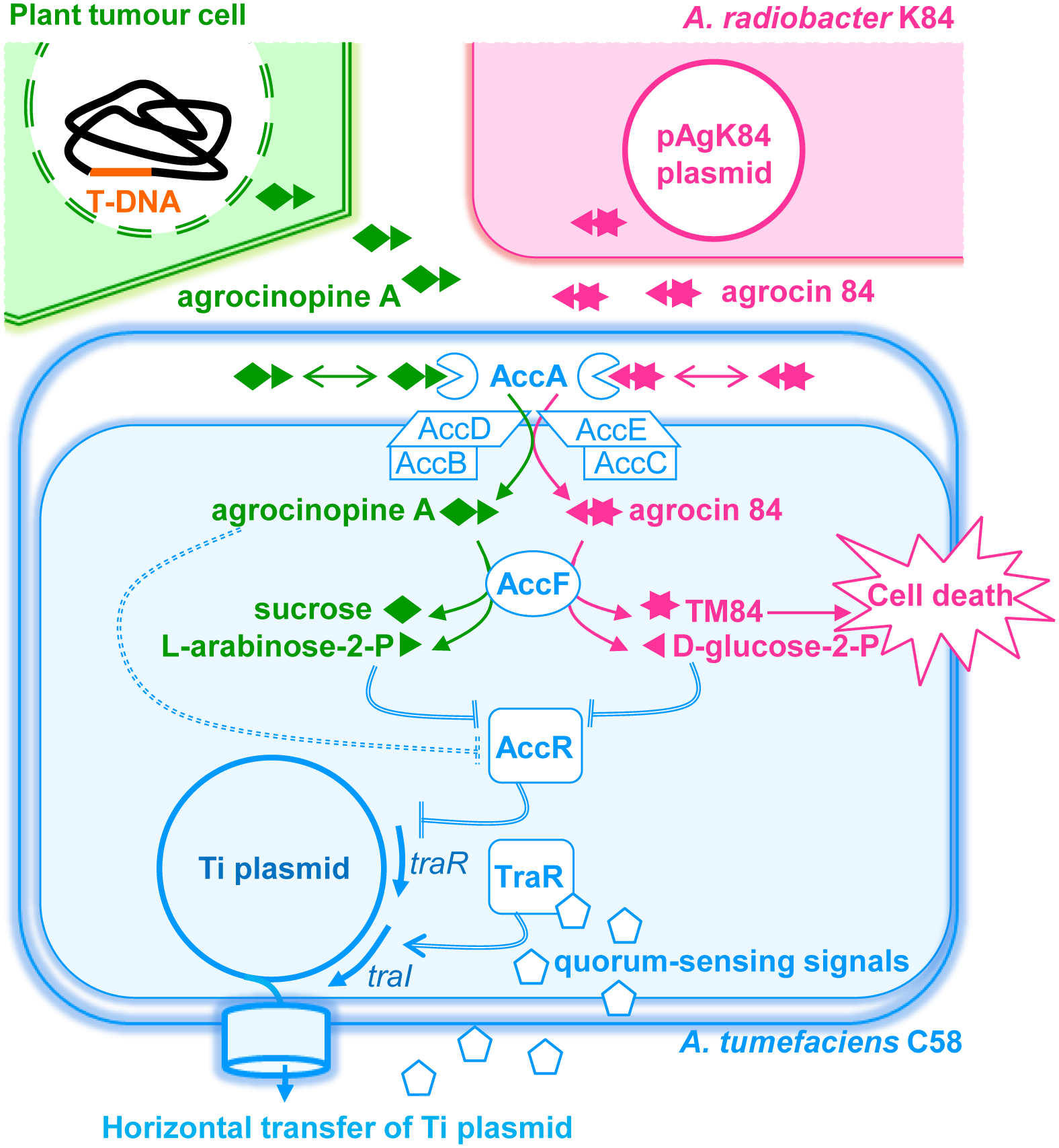 A simplified schematic representing the agrocinopine A and agrocin 84 roles in <i>A</i>. <i>tumefaciens</i> C58.