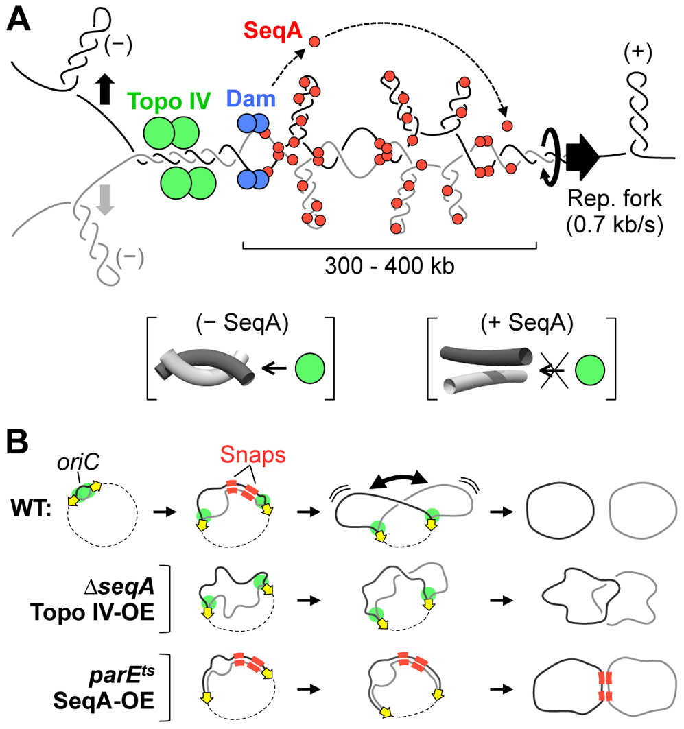 Models for cohesion and cohesion-mediated chromosome segregation.