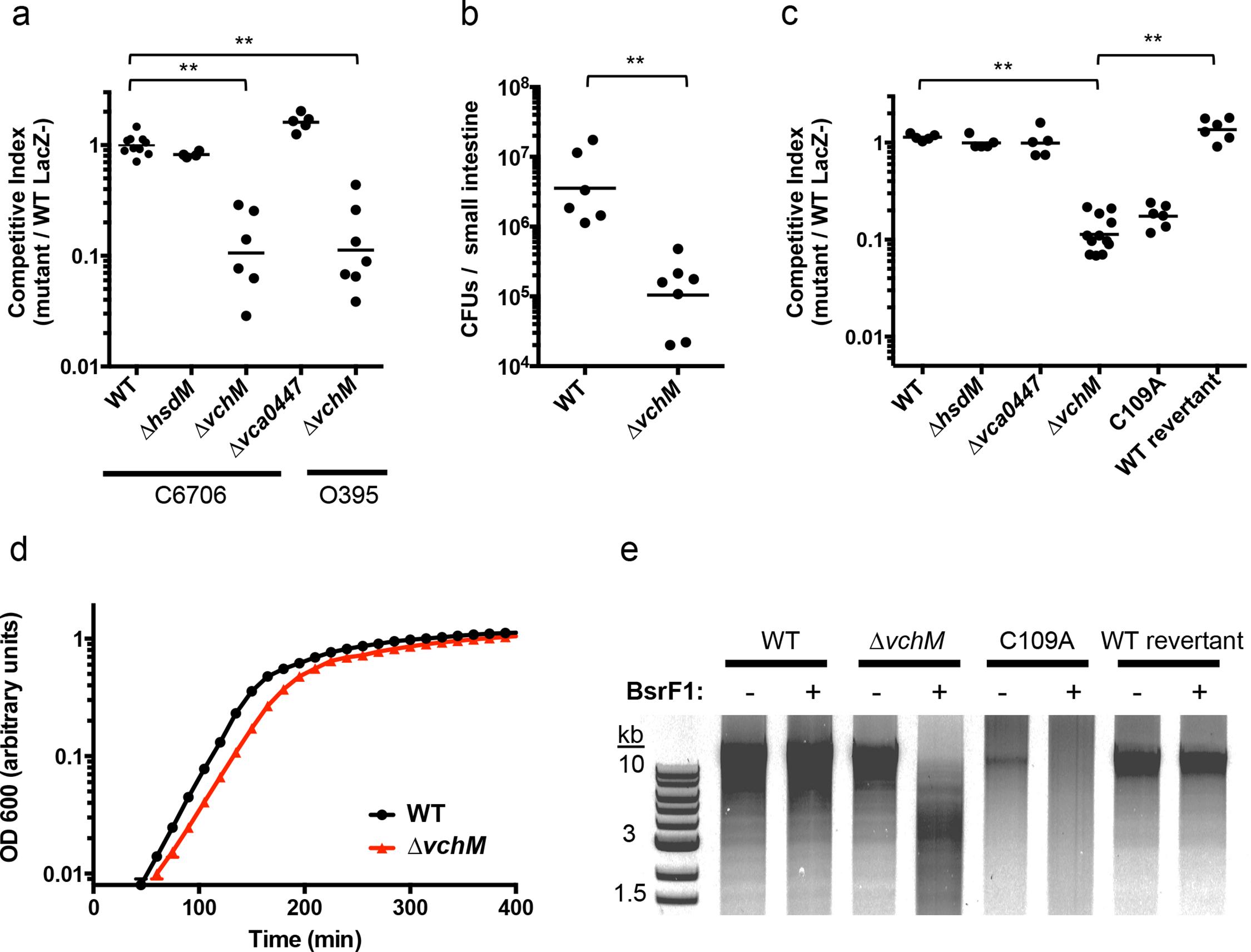VchM methyltransferase activity promotes <i>V</i>. <i>cholerae</i> growth and pathogenicity.