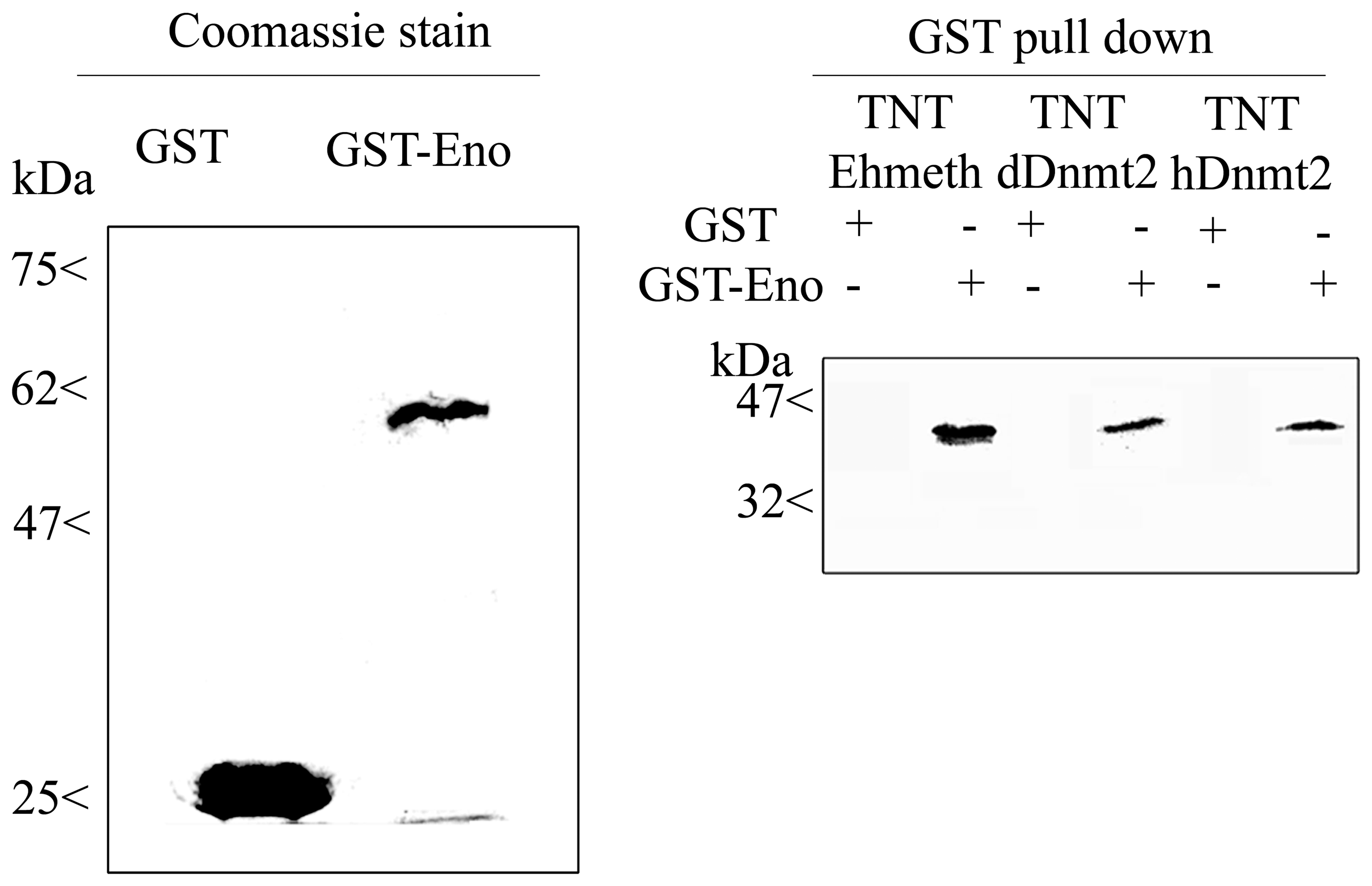 <i>In vitro</i> interaction between Ehmeth, dDnmt2, hDnmt2 and enolase.