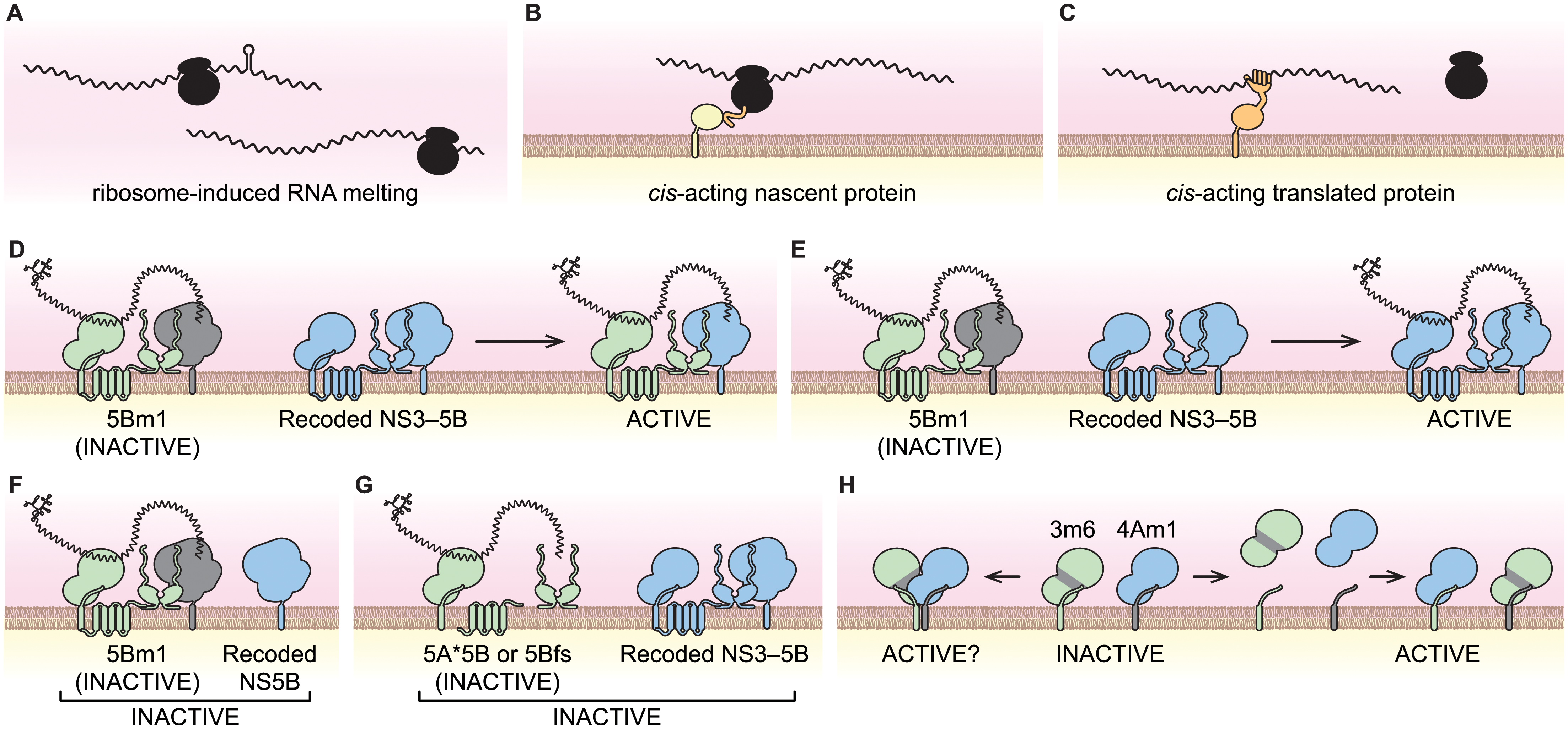 Models of viral <i>cis</i>-activities and HCV replicase structure and function.