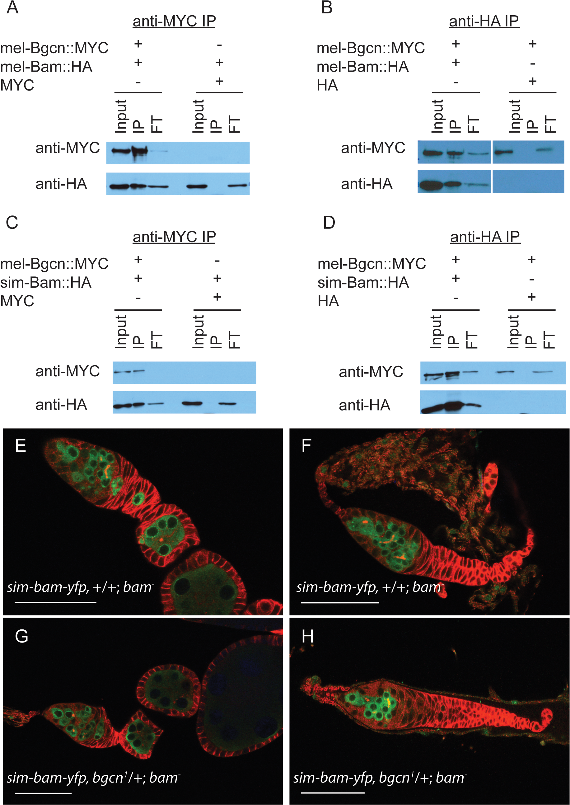 sim-Bam maintains interactions with mel-Bgcn in immunoprecipitates from S2 cells.