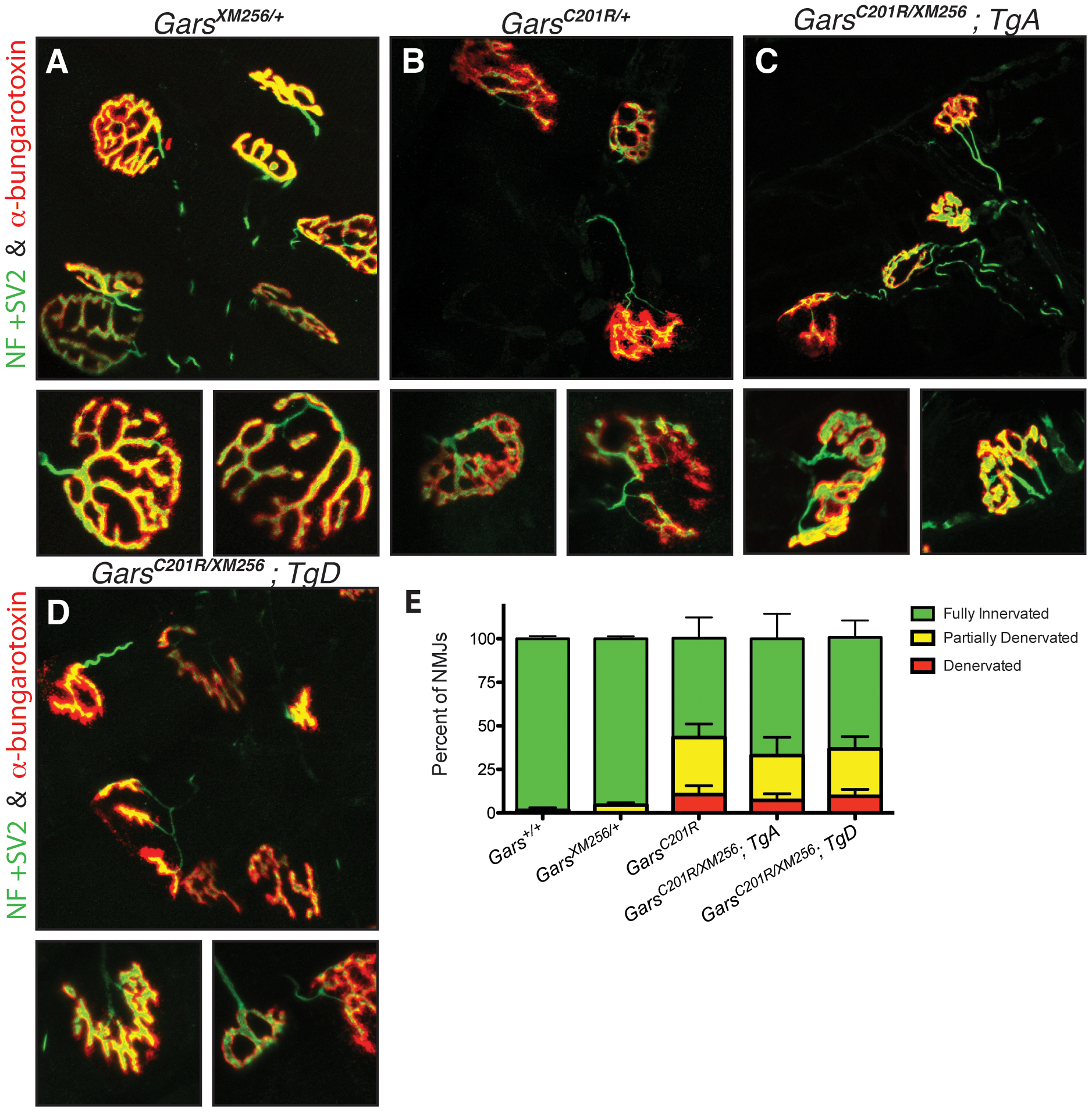 Neuromuscular junctions in rescued mice are similar to those in <i>C201R/+</i> mice.