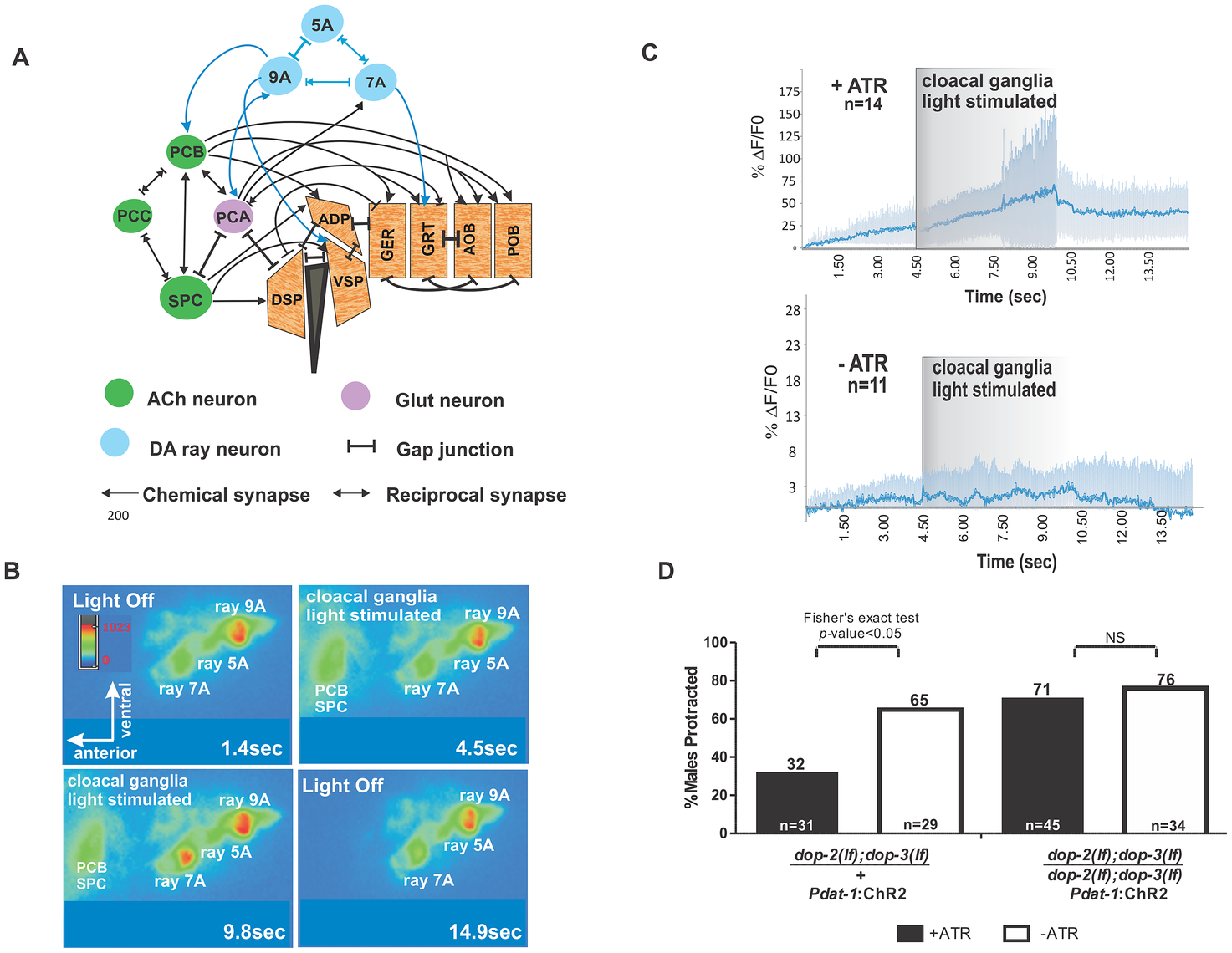 Activation of cloacal neurons increase Ca<sup>+2</sup> transients in Rn7A, and activation of DA neurons attenuate ARE-induced muscle contraction via D2-like receptors.