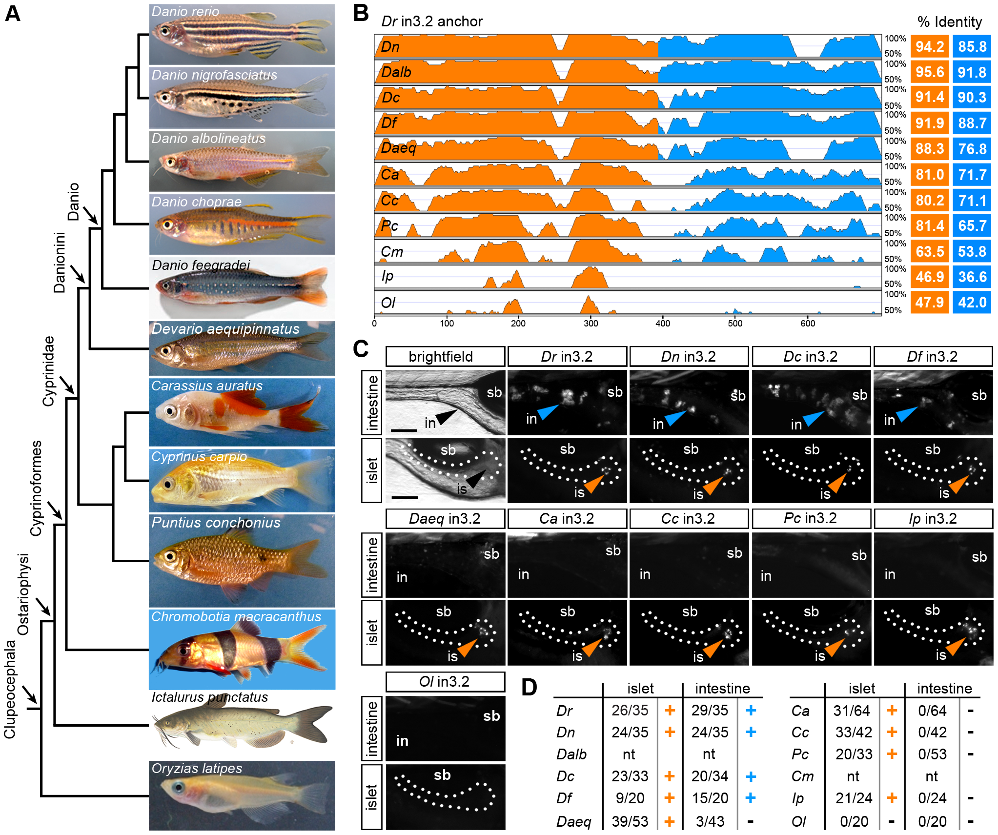 Functional evolution of the islet and intestinal regulatory modules in 12 fish species.