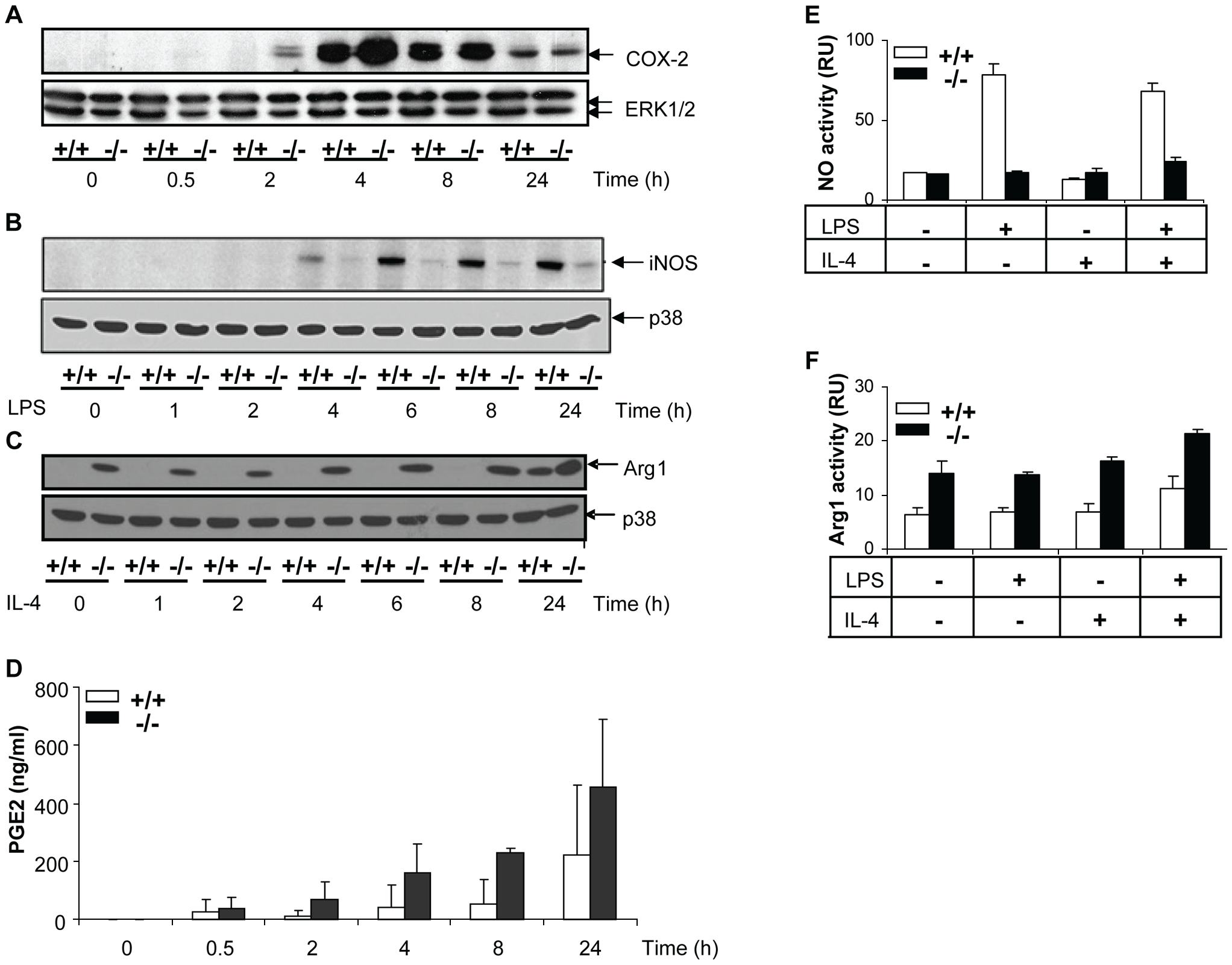 Differential effects of MKP-2 deletion upon COX-2, iNOS and Arginase-1 expression in LPS-stimulated macrophages.