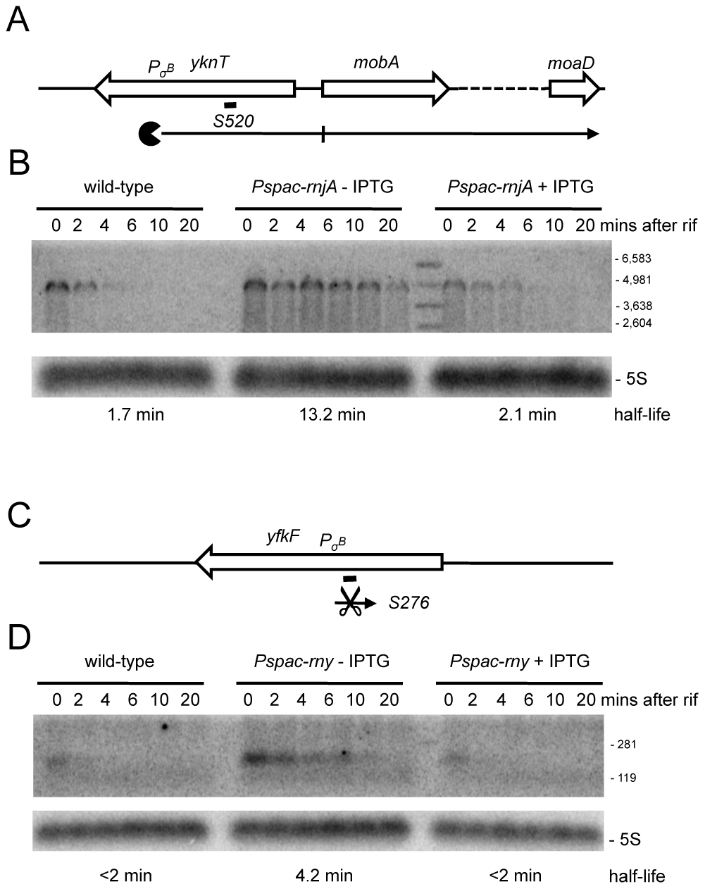 Detection of new potential asRNAs in RNase Y and J1 mutants.