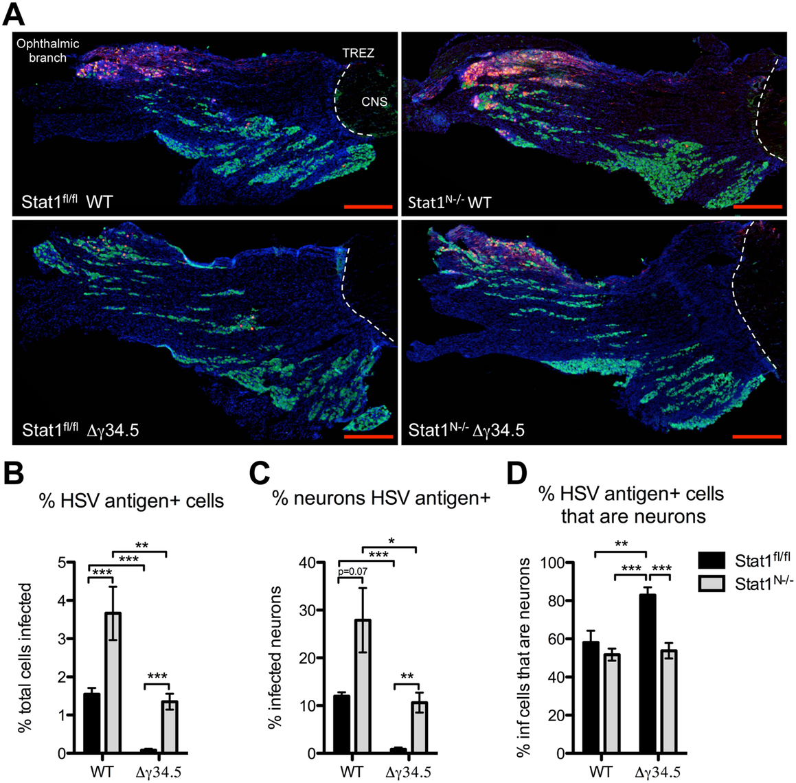 Neural deletion of STAT1 affects viral tropism in the trigeminal ganglia.