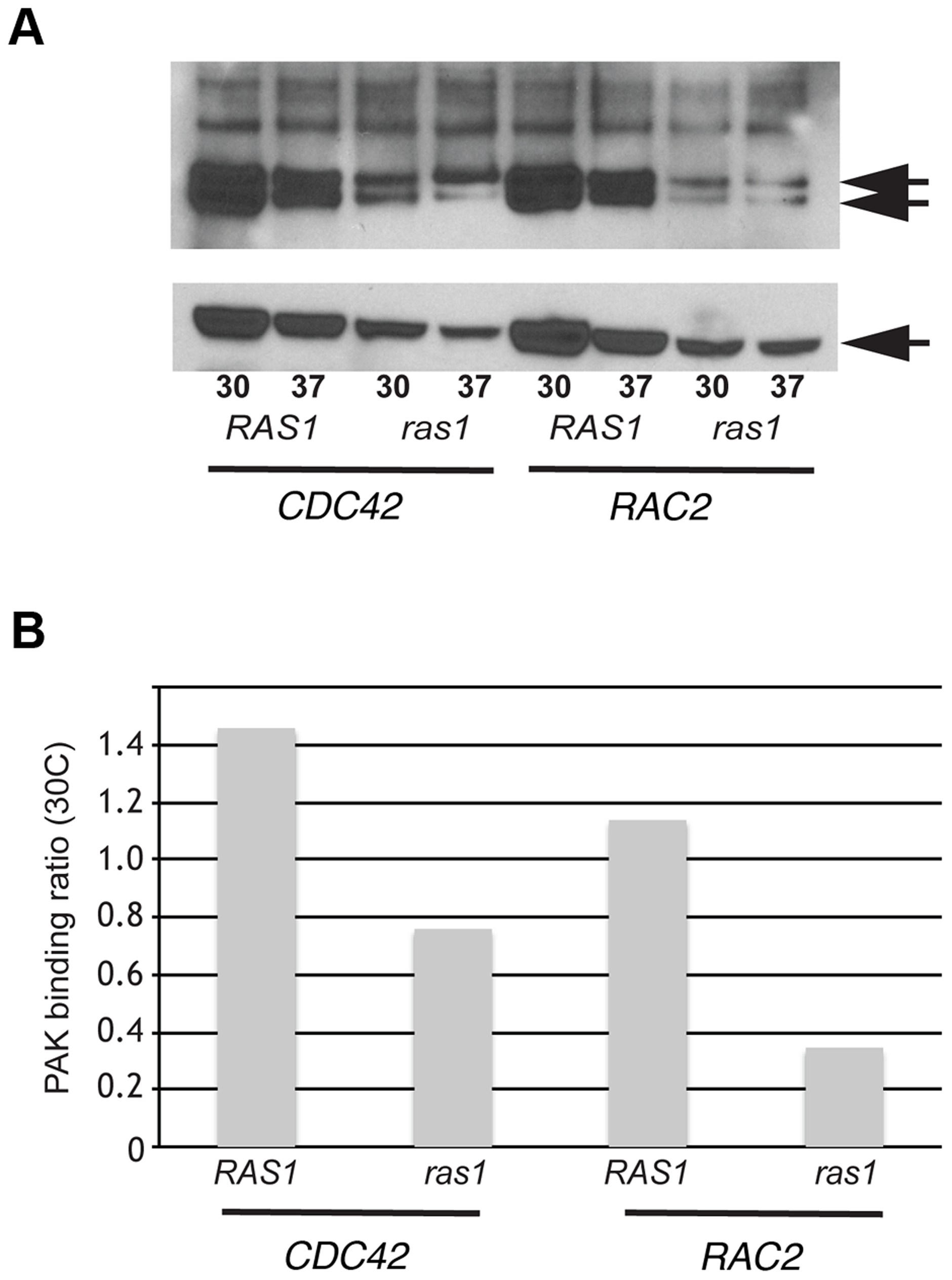 Ras1 is required for Cdc42/Rac-mediated PAK activation.