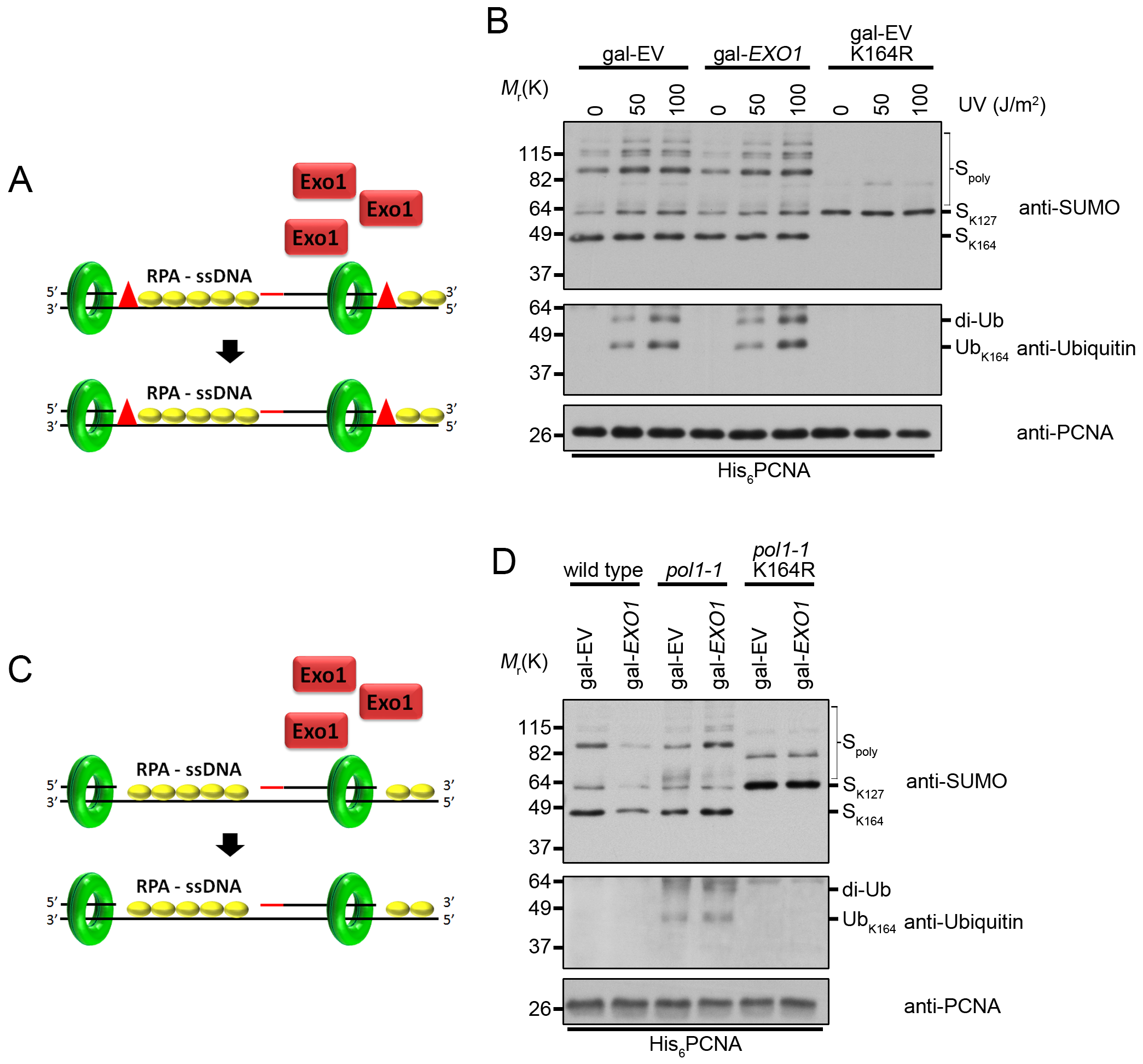 Overexpression of <i>EXO1</i> does not alter PCNA ubiquitination under conditions that cause ssDNA gap formation.
