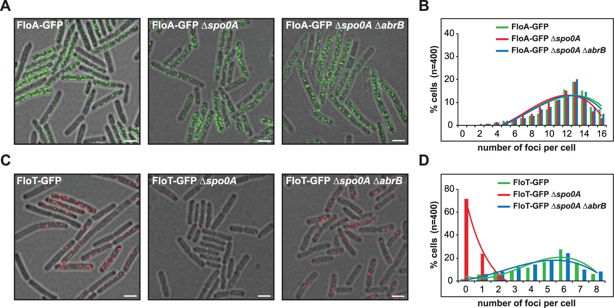 Spo0A regulates <i>floT</i> and not <i>floA</i> expression via inhibition of AbrB.